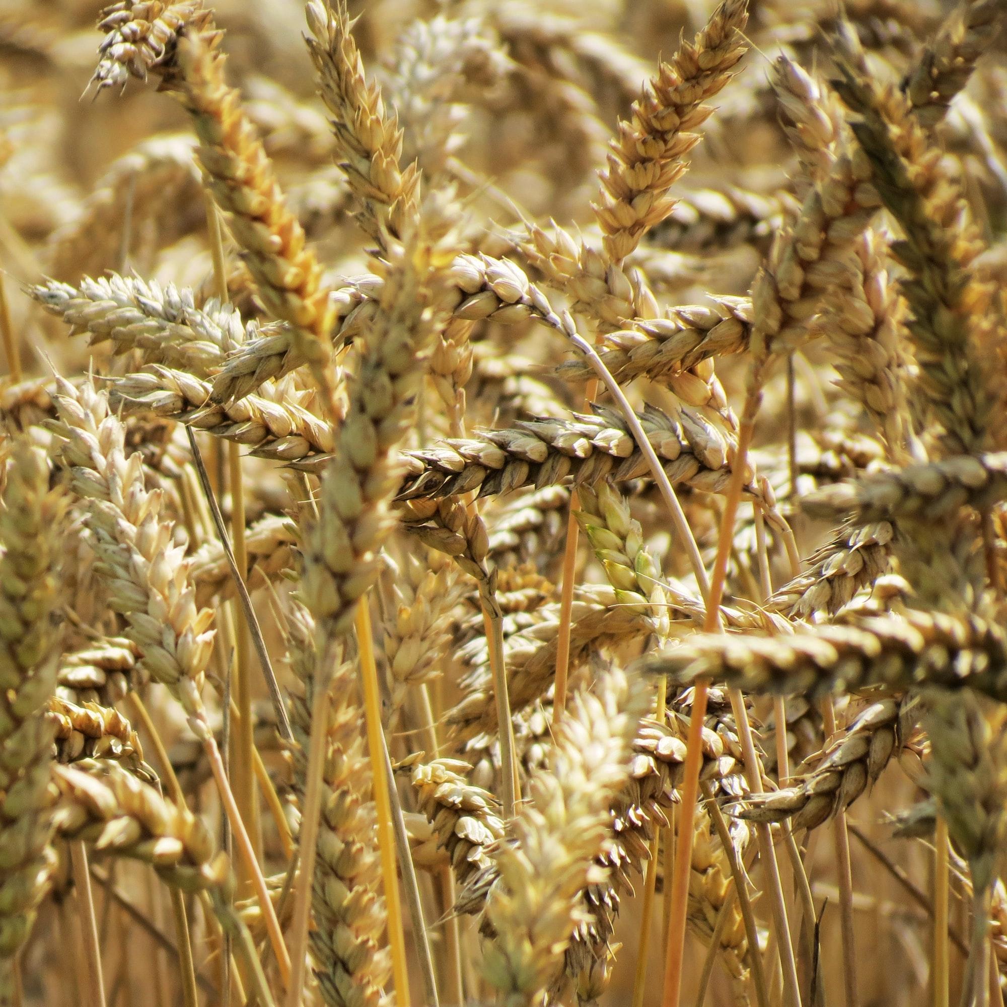 Sunlit golden barley ears