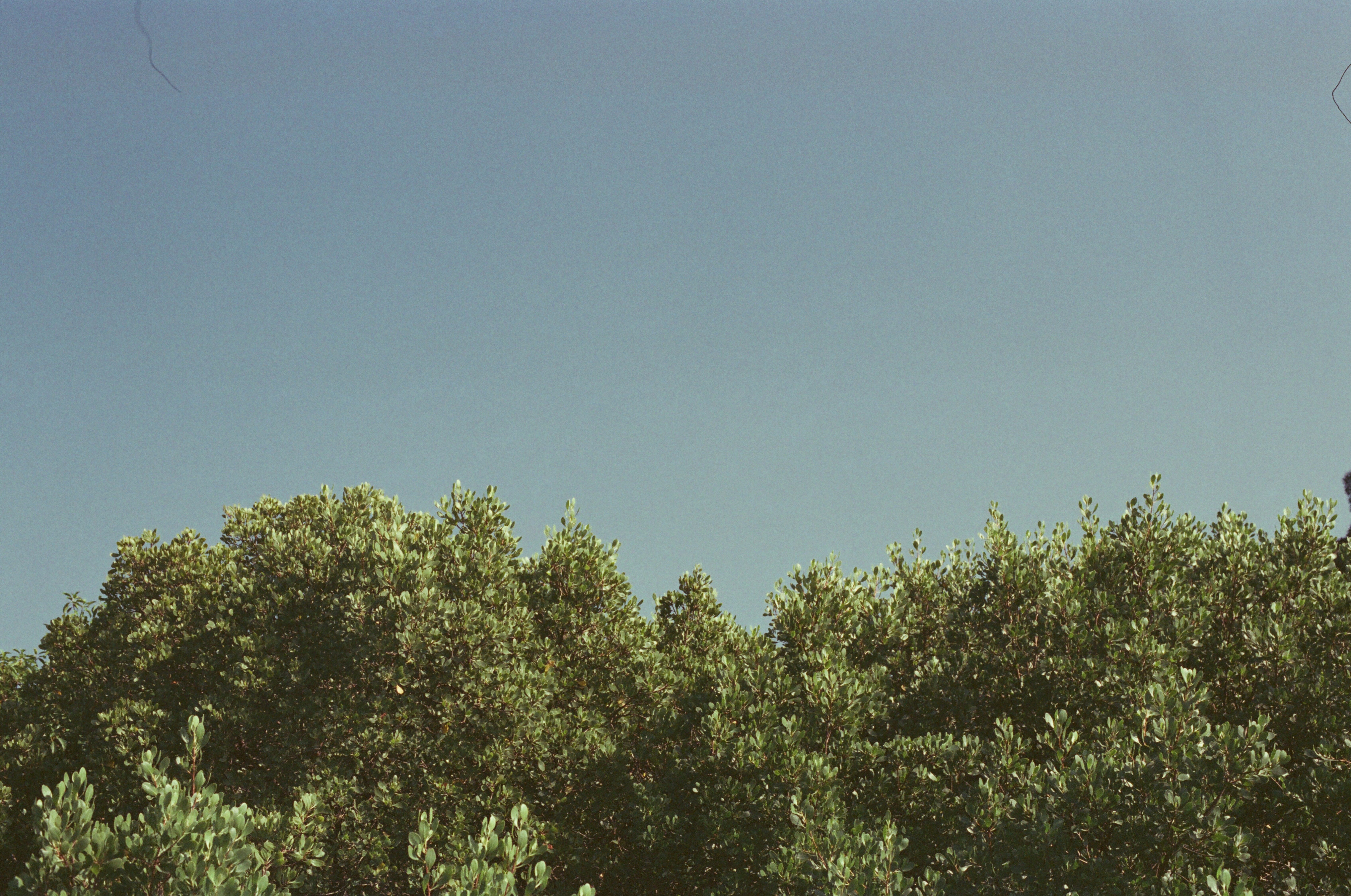 A fuzzy shot of the tops of bushy trees against a clear sky