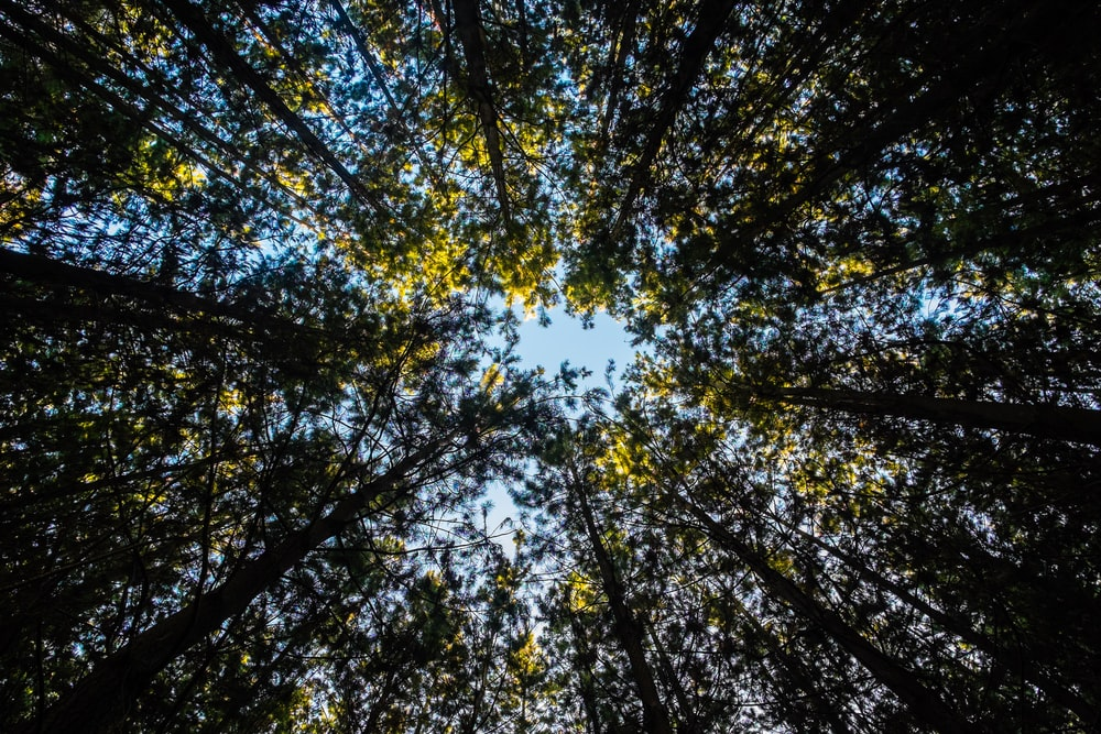 law angle photography of tall trees at daytime