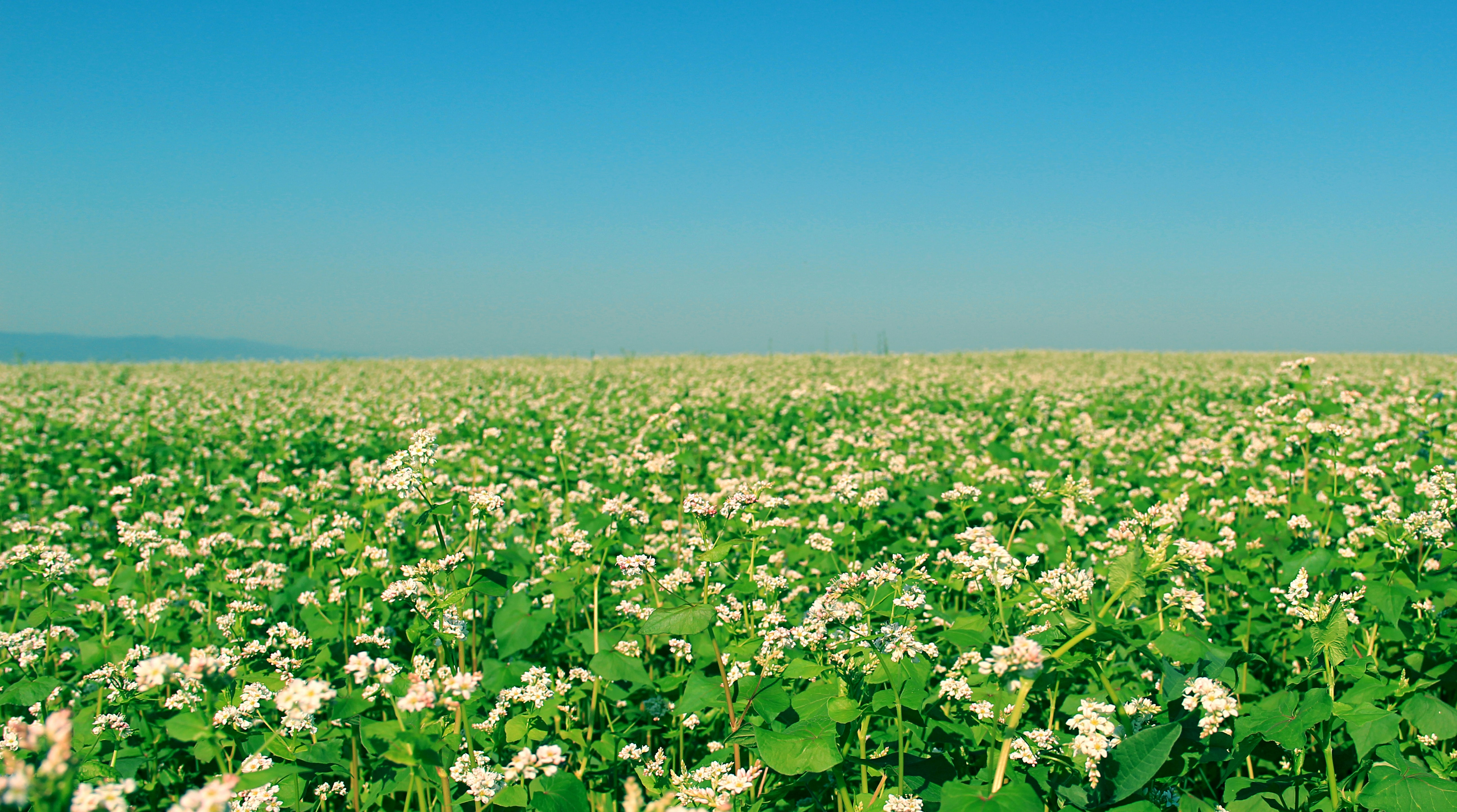 A field of white-flowered plants stretching to the horizon on a spring day