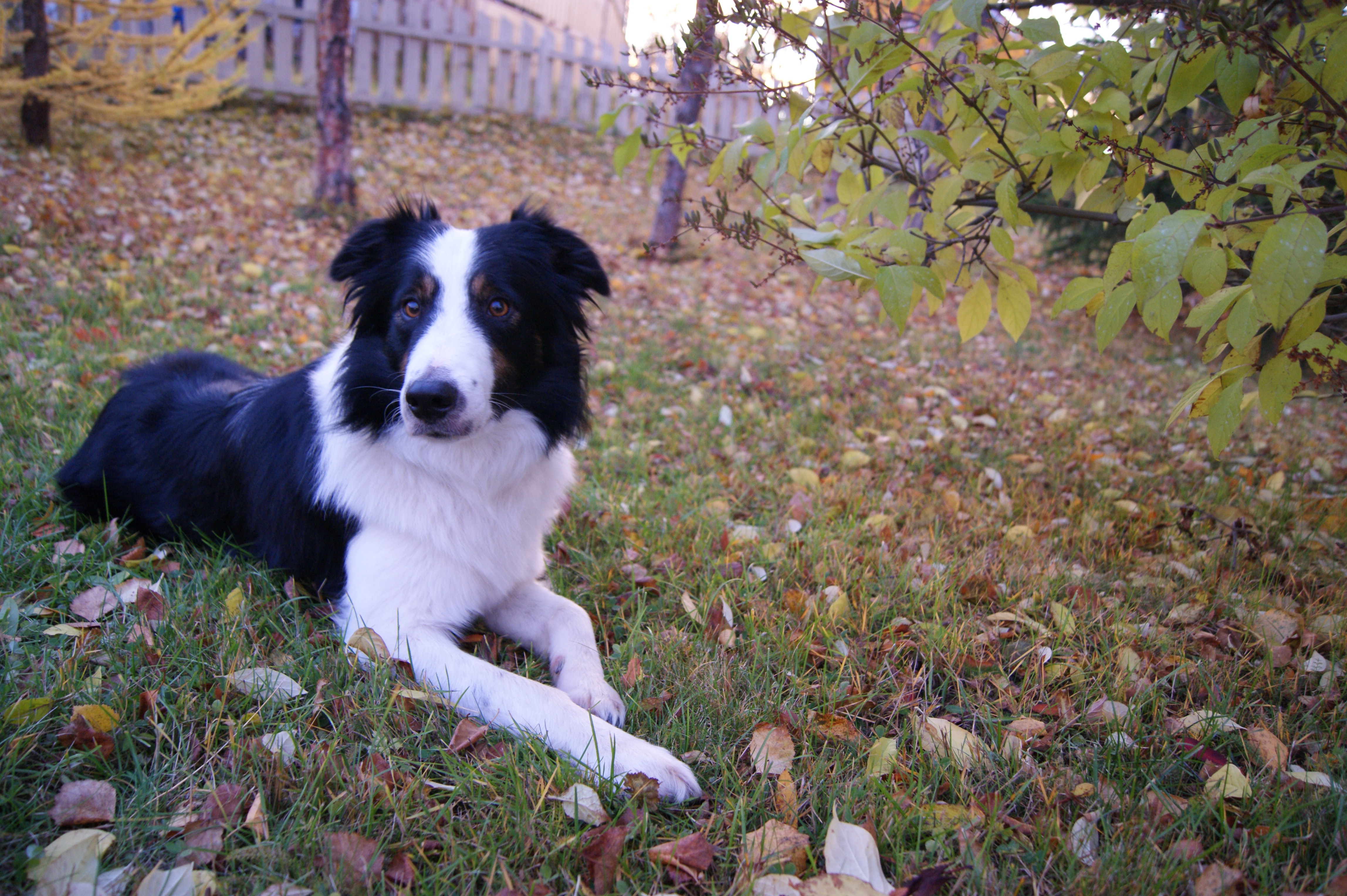 white and black Border Collie lying on ground near green leaf plant during daytime