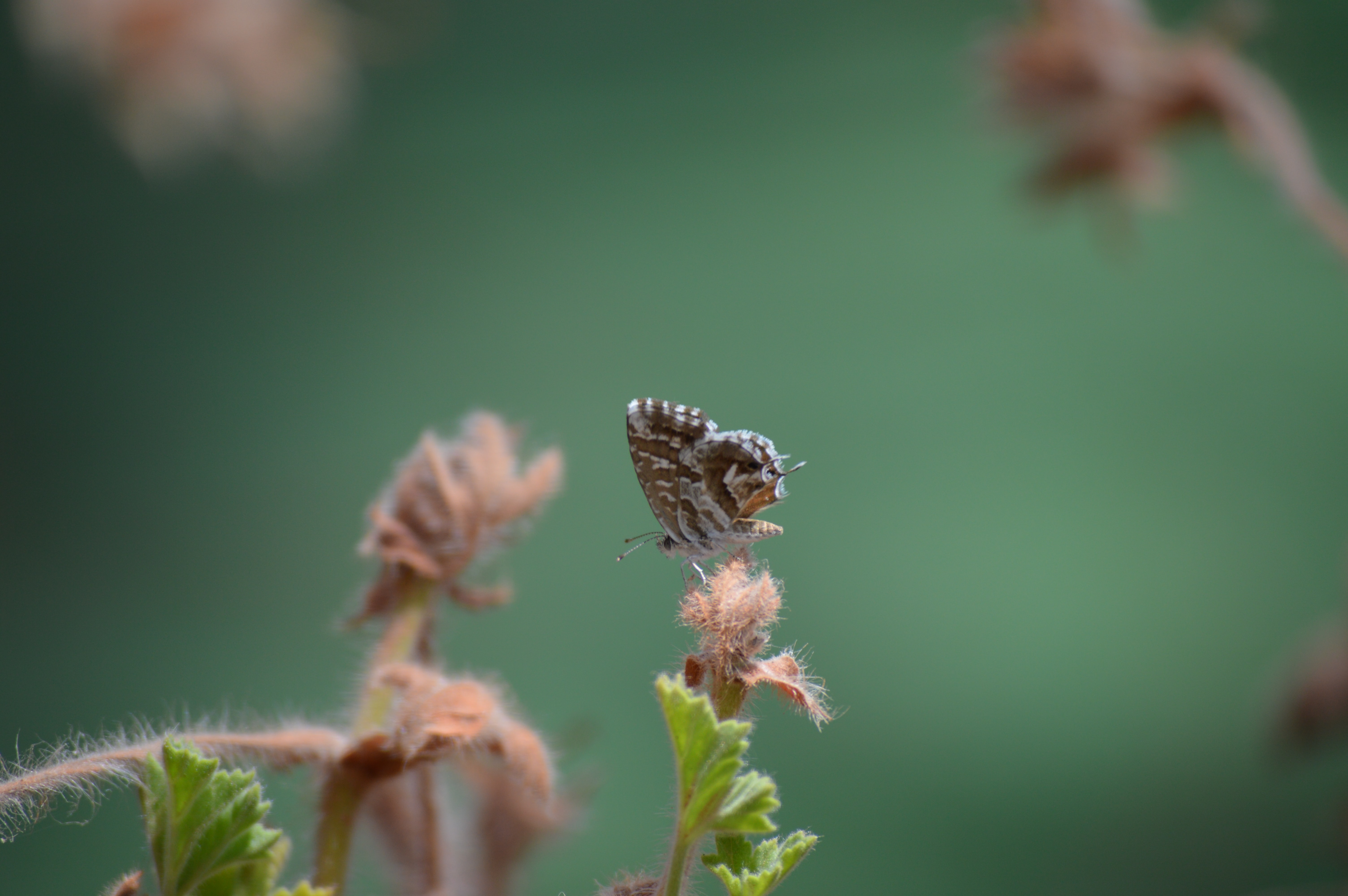 A brown moth with its wings folded sitting on a flower bud
