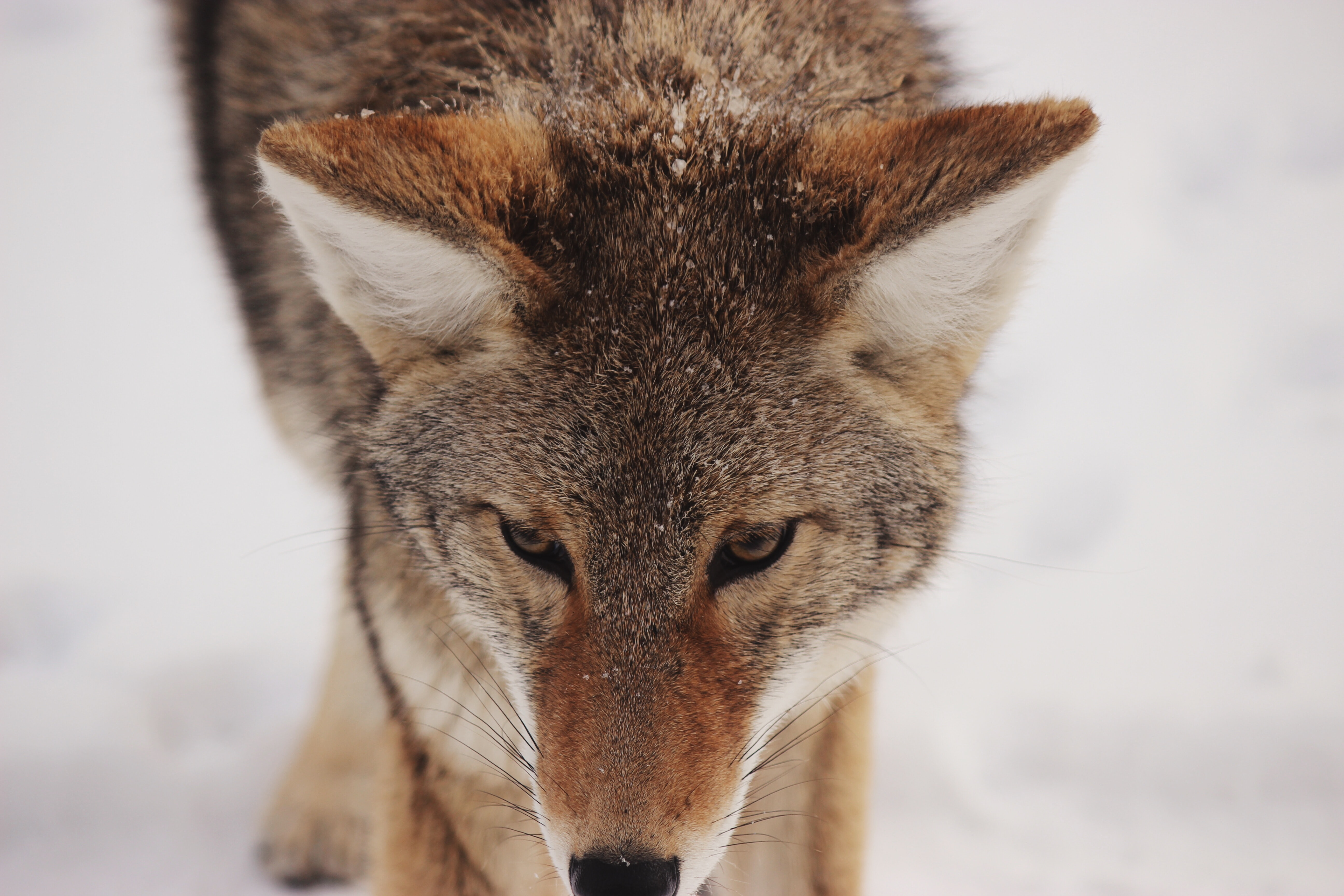 A close-up of a wolf's head against a snowy background
