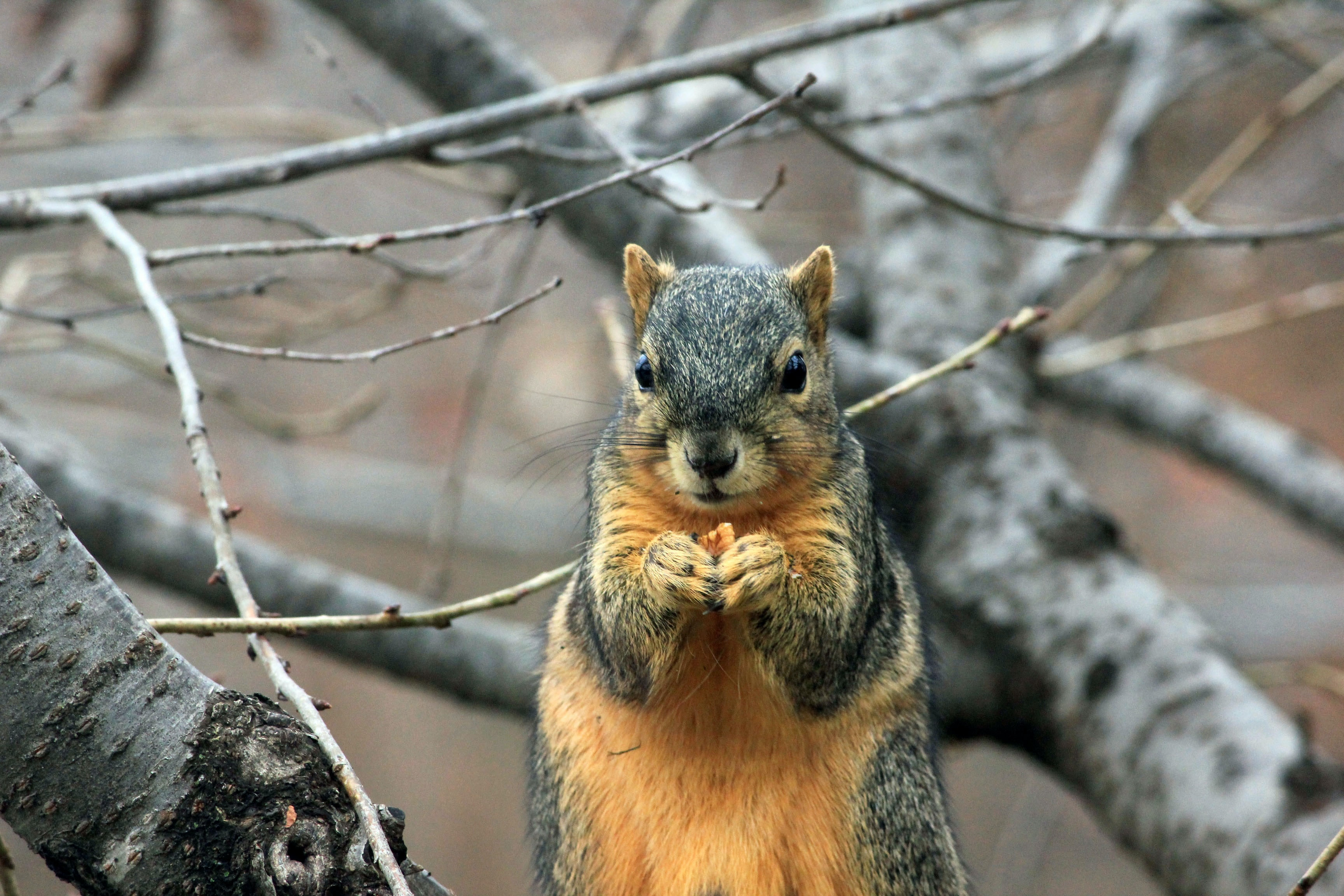 A close-up of a squirrel nibbling on a walnut on a thick branch