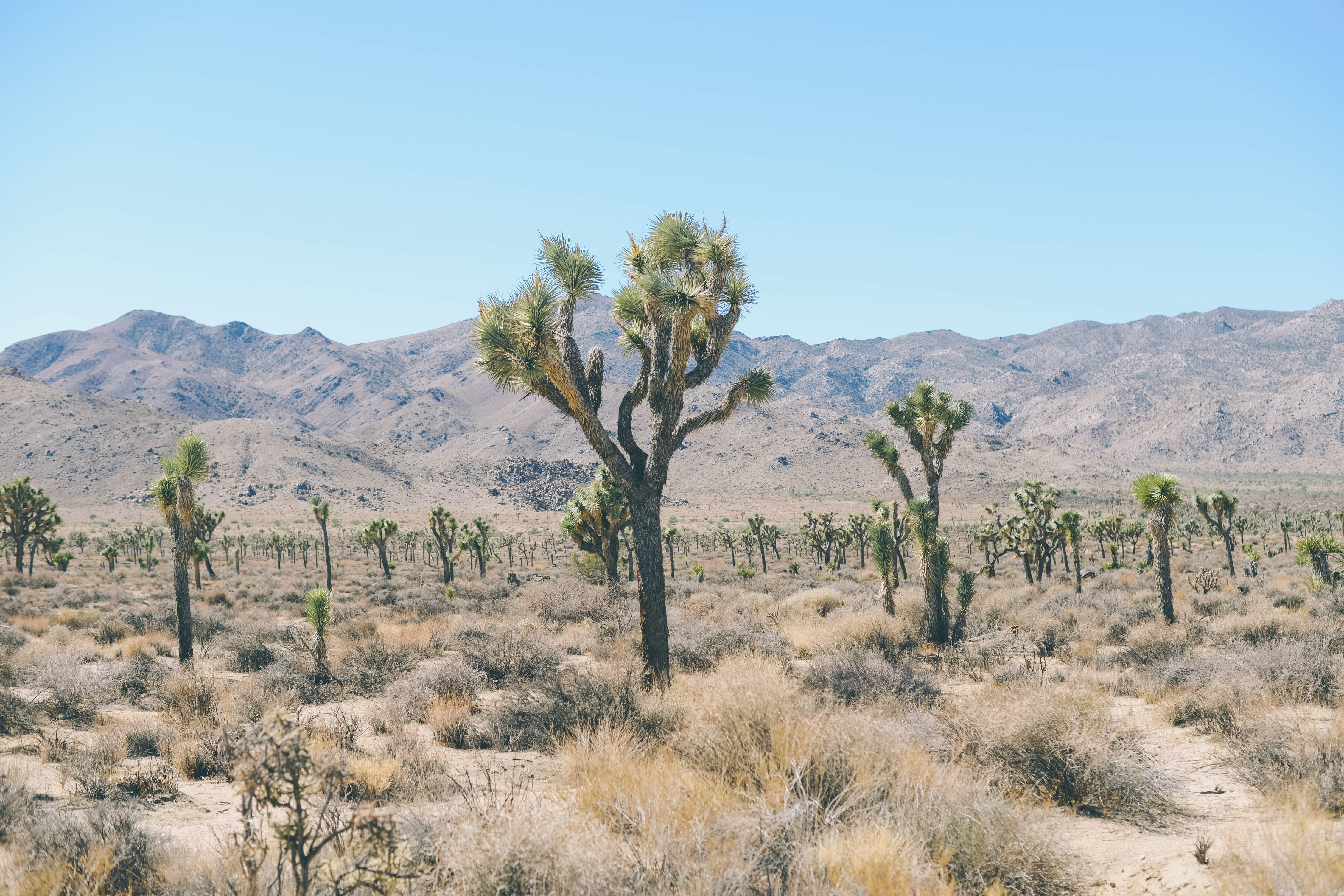 A large number of cholla cactuses among shrubs with dust-covered mountains on the horizon