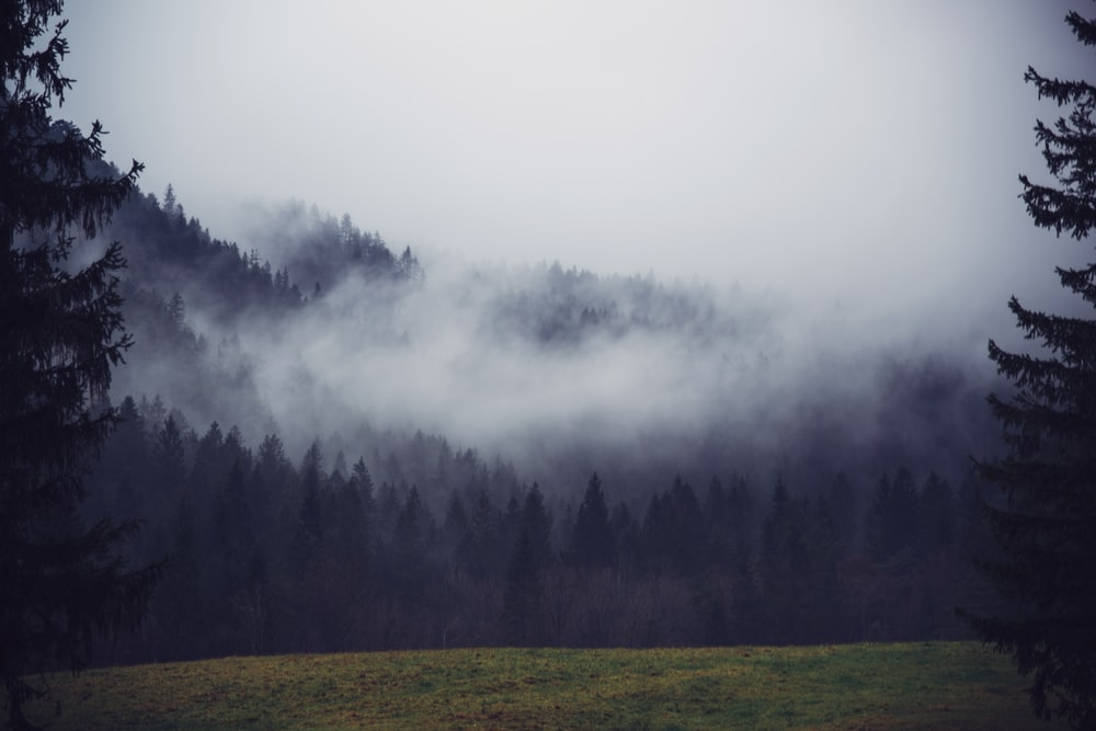 pine trees covered with fog under cloudy sky