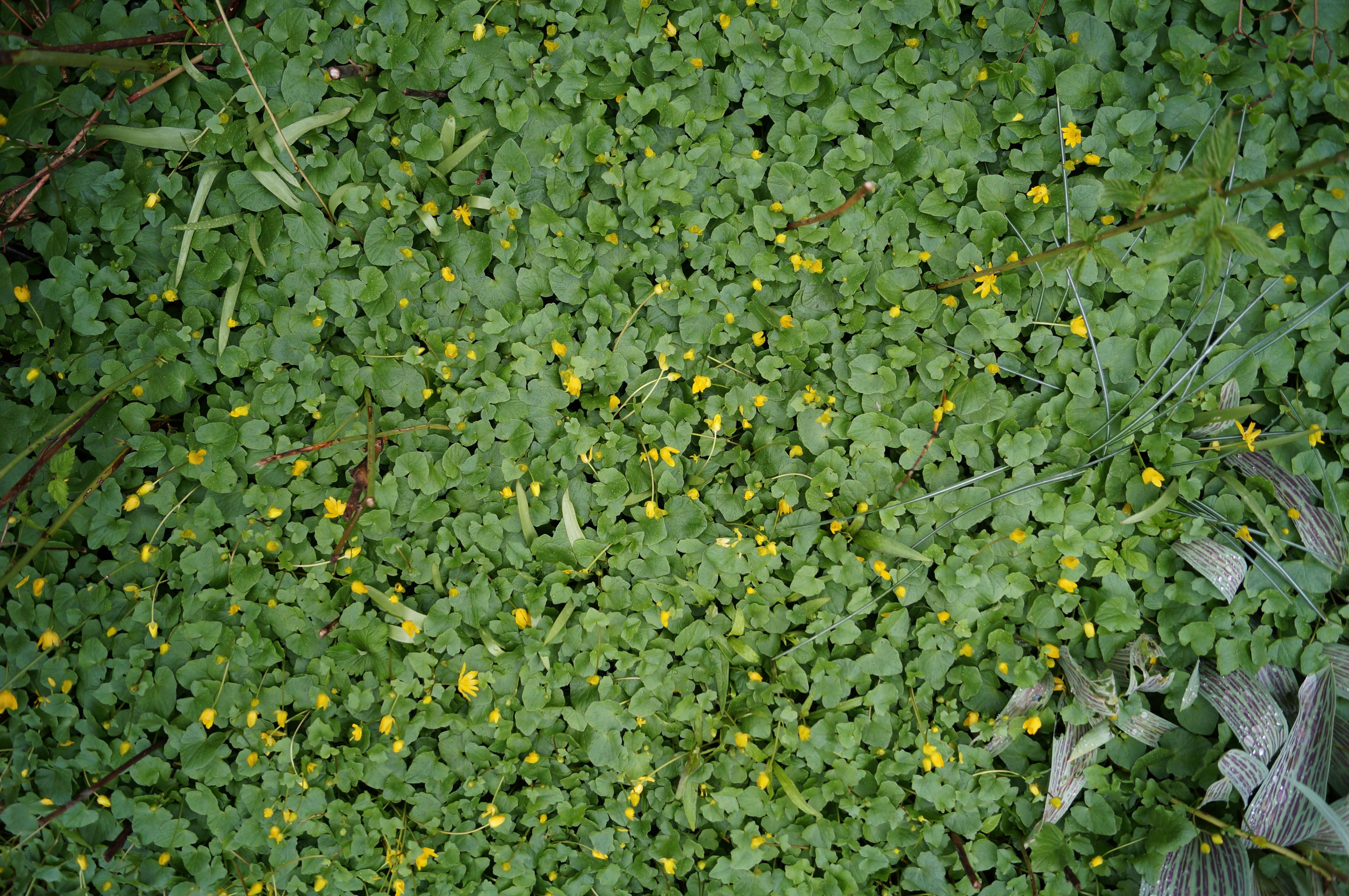 A top view of a patch of buttercup flowers