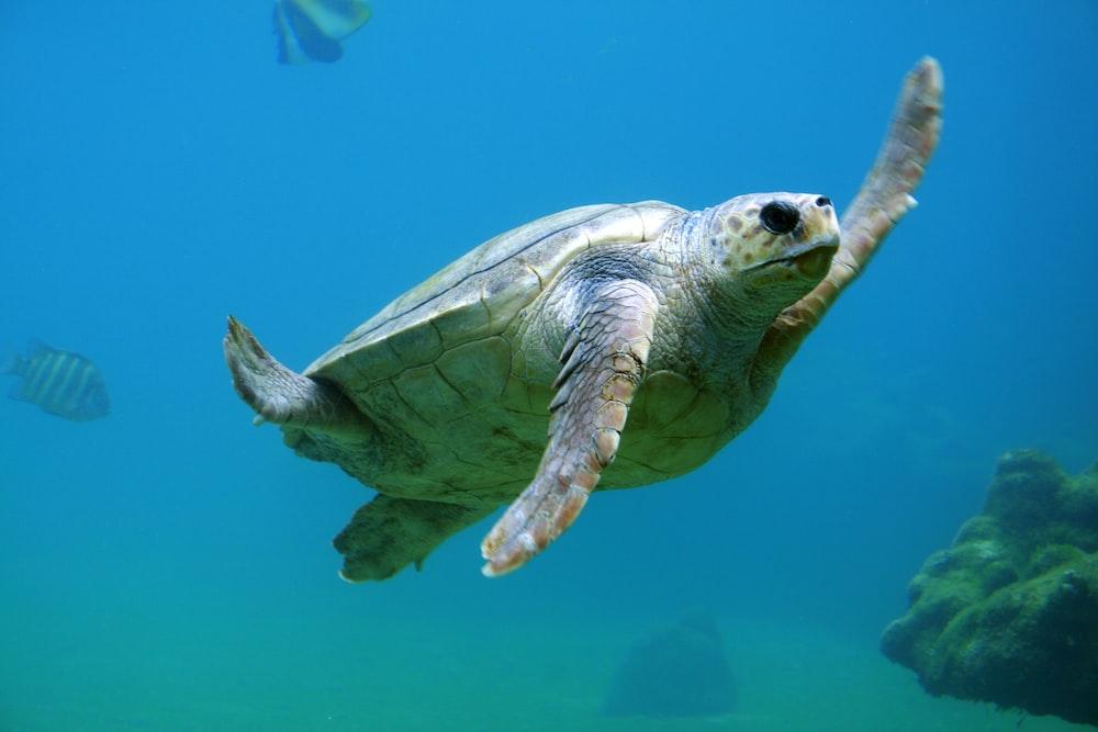 sea turtle under water