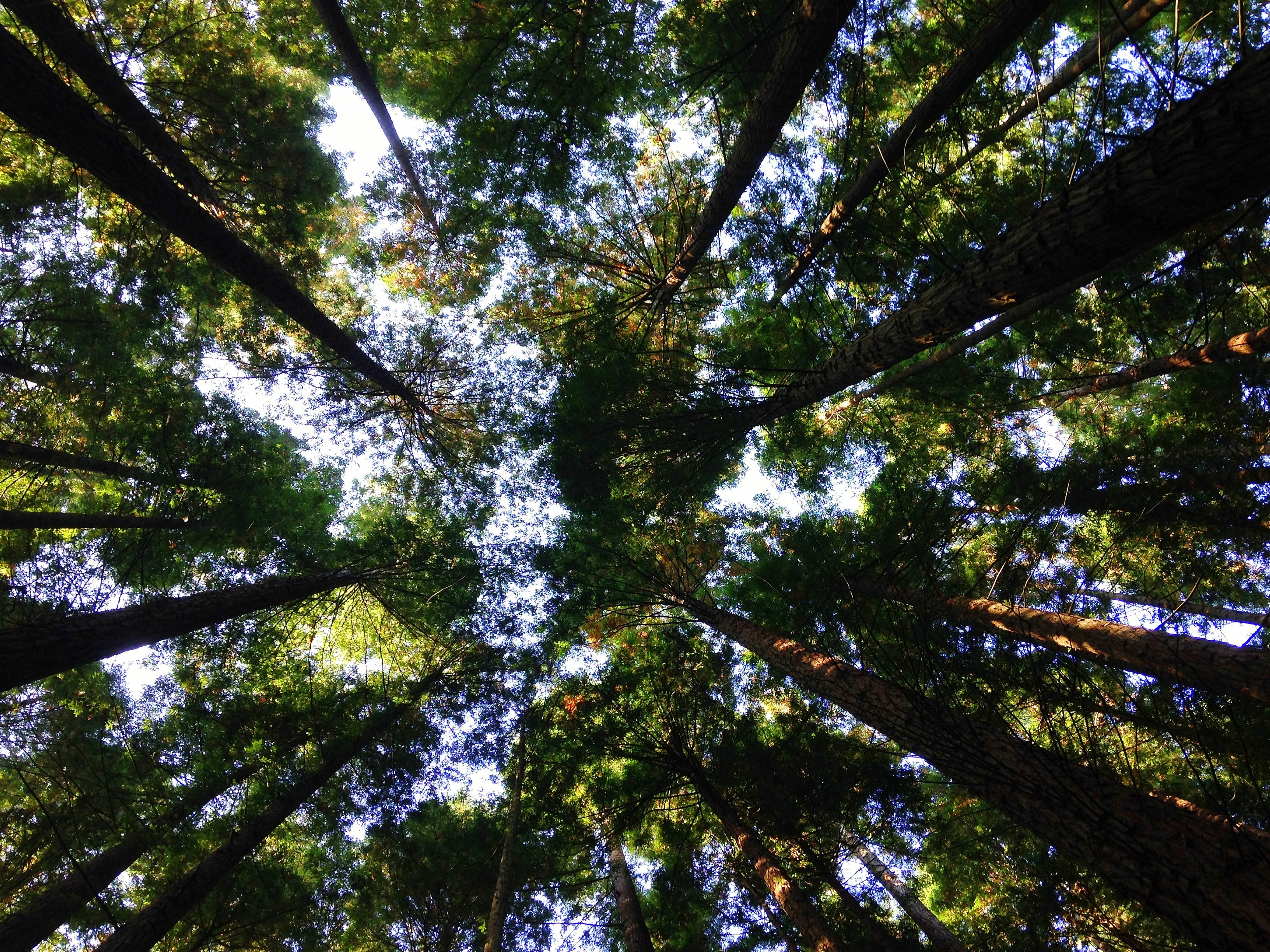 A low-angle shot of a canopy formed by tall trees