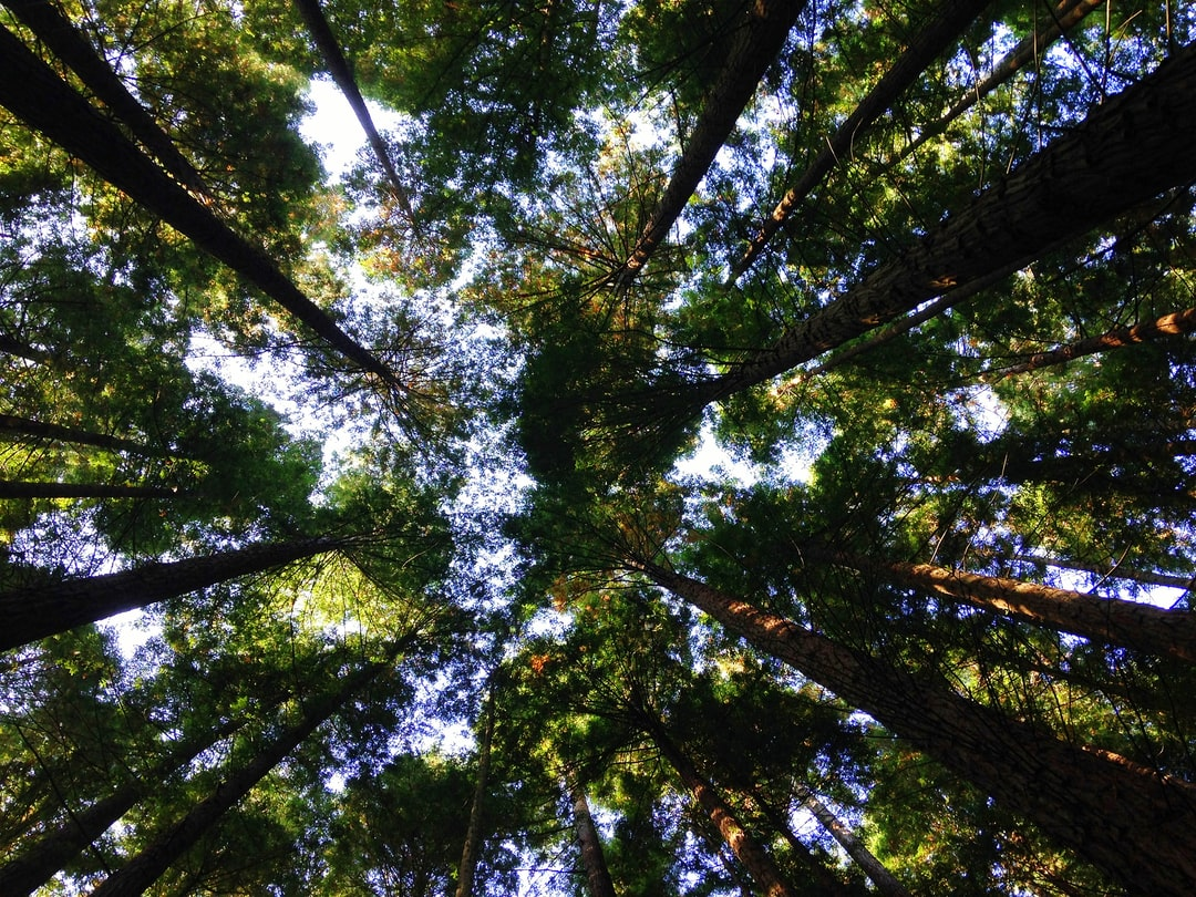 Treetops seen from the ground