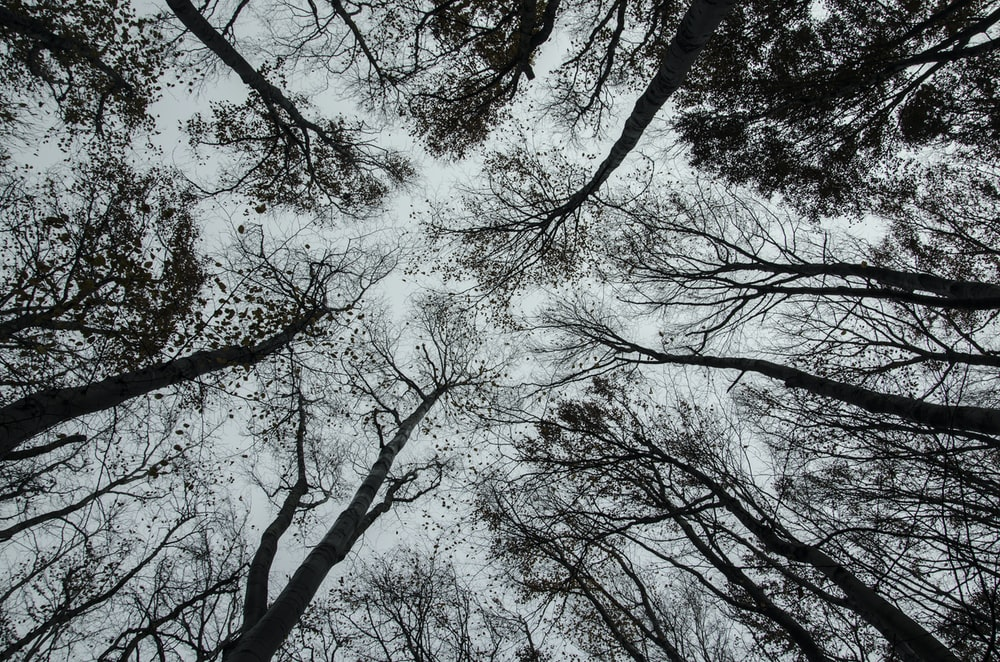 bottom view of bare trees