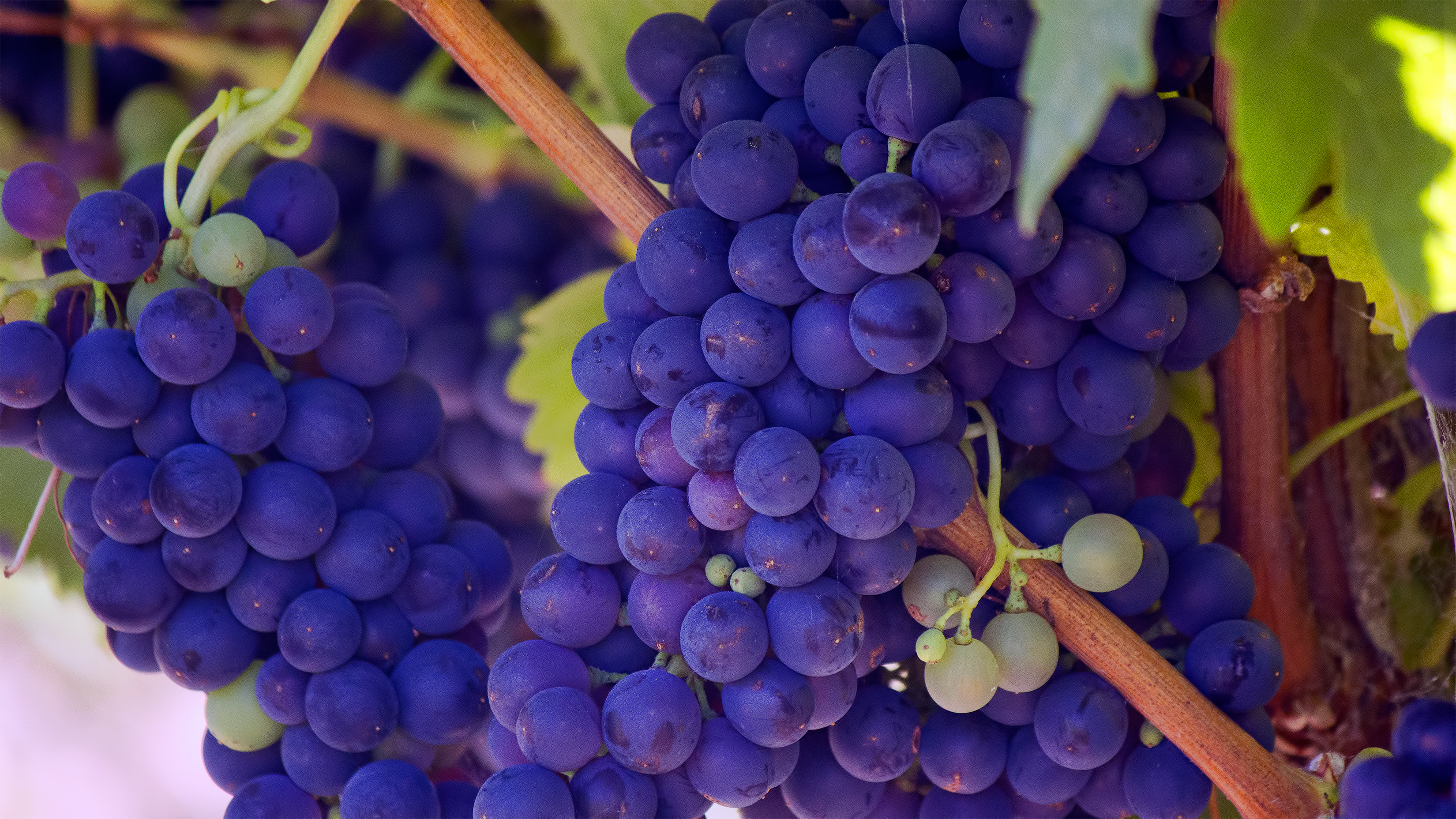 A close-up of bunches of purple grapes on the vine