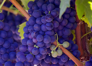 photo of purple grape fruits