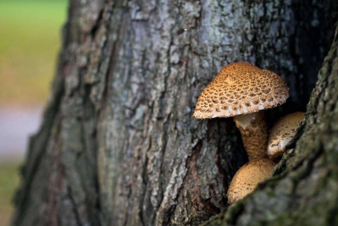 Parasol mushrooms on a tree trunk