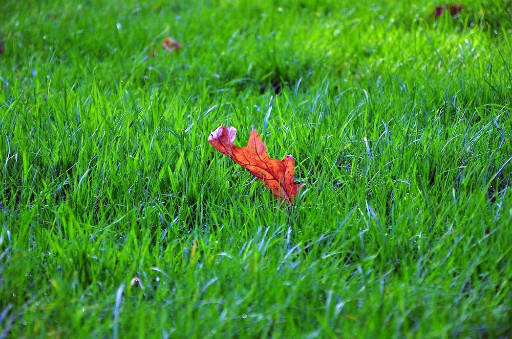 brown leaf on green grass