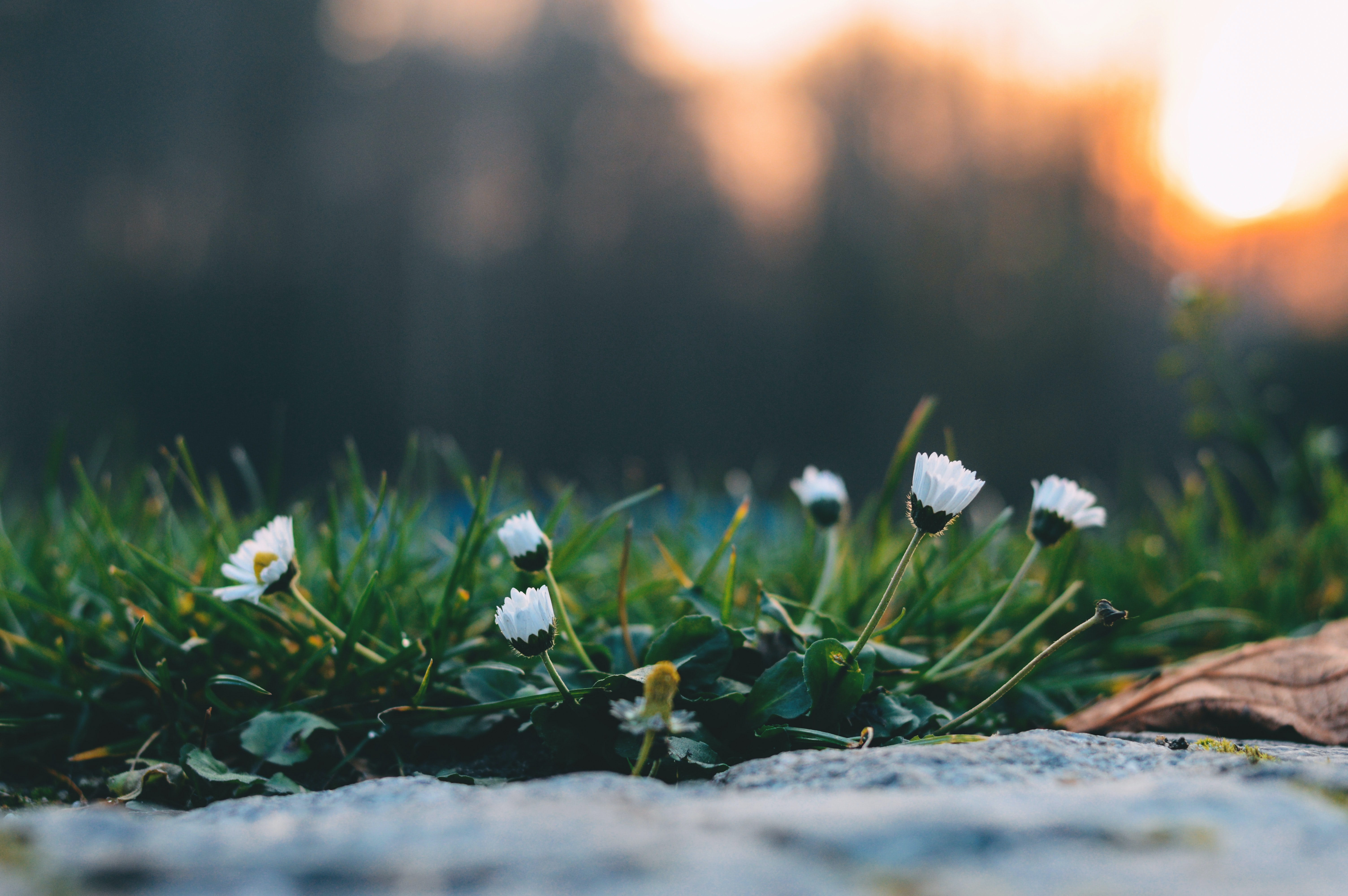 Close-up of white daisies bending towards the ground during sunset