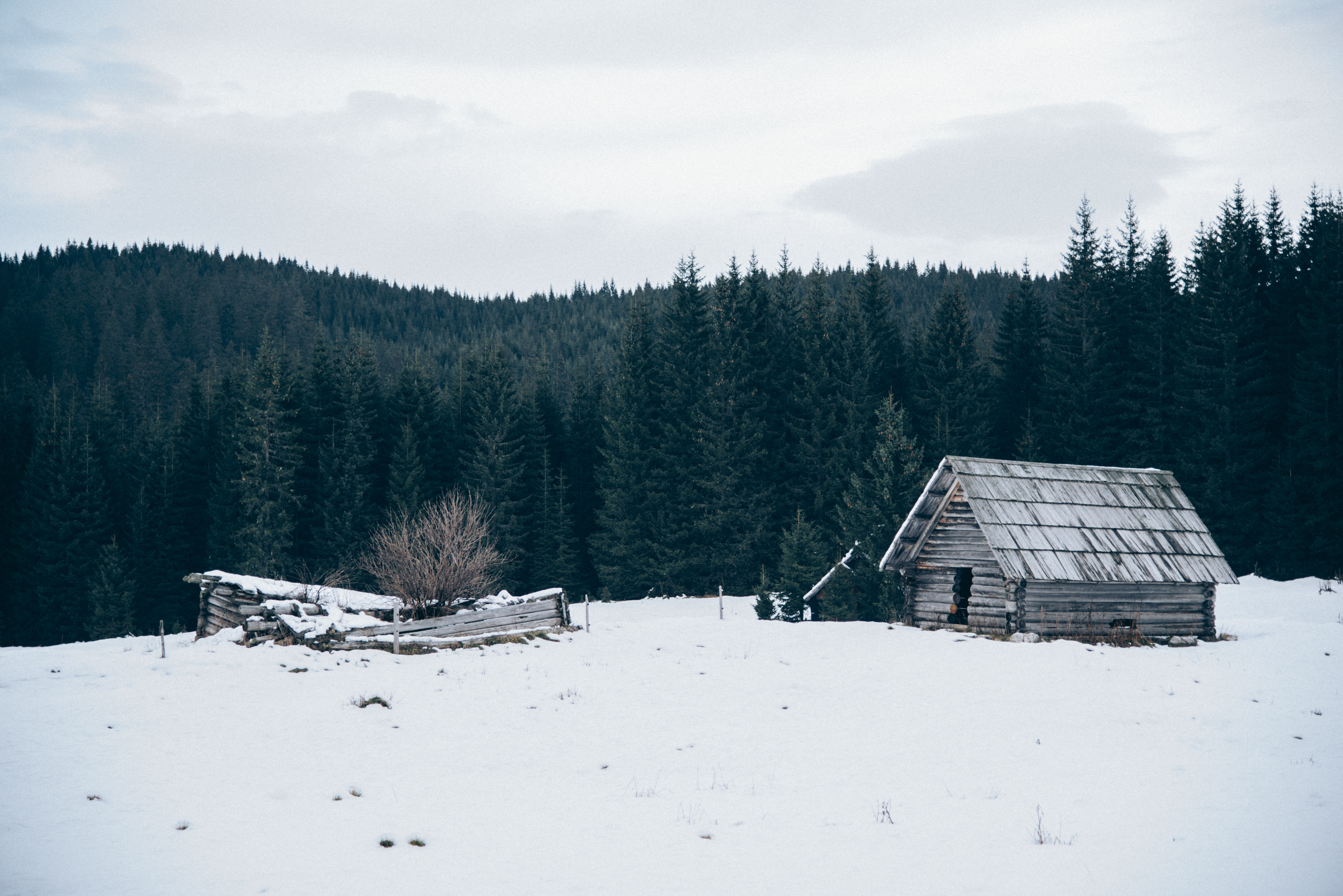 A wooden cabin and a derelict shack near a pine forest on a winter's day