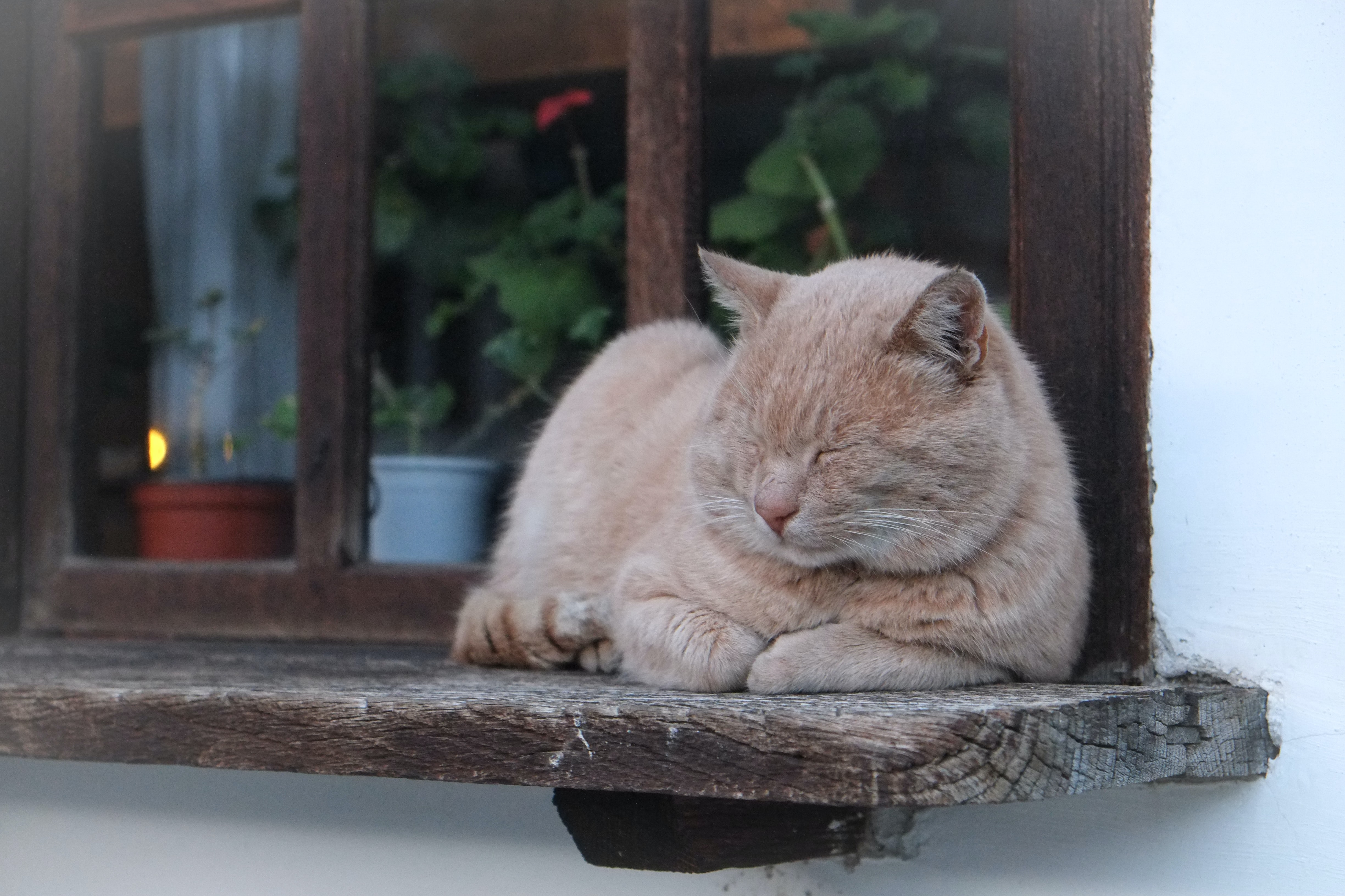 A ginger tomcat sleeping on a wooden windowsill outside