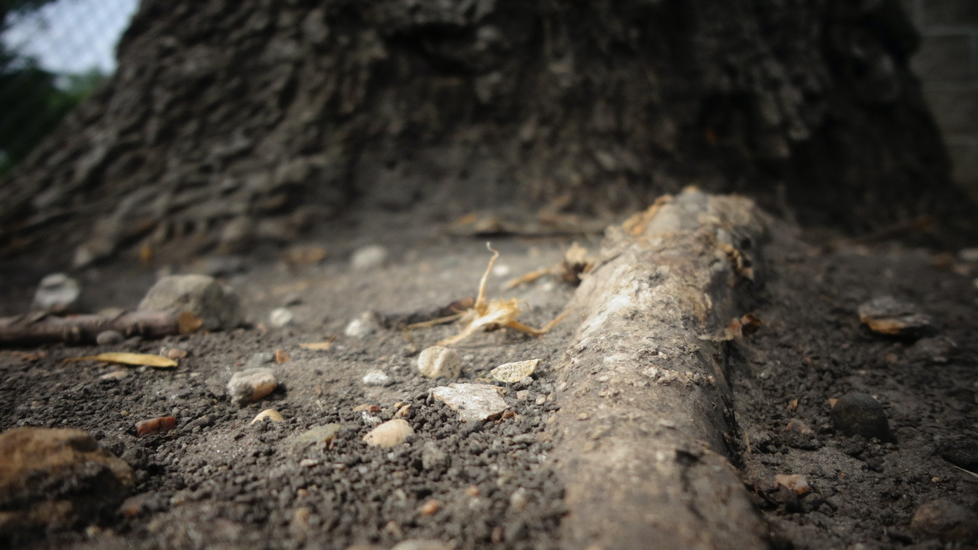 Low shot of thick tree roots jutting out from the ground