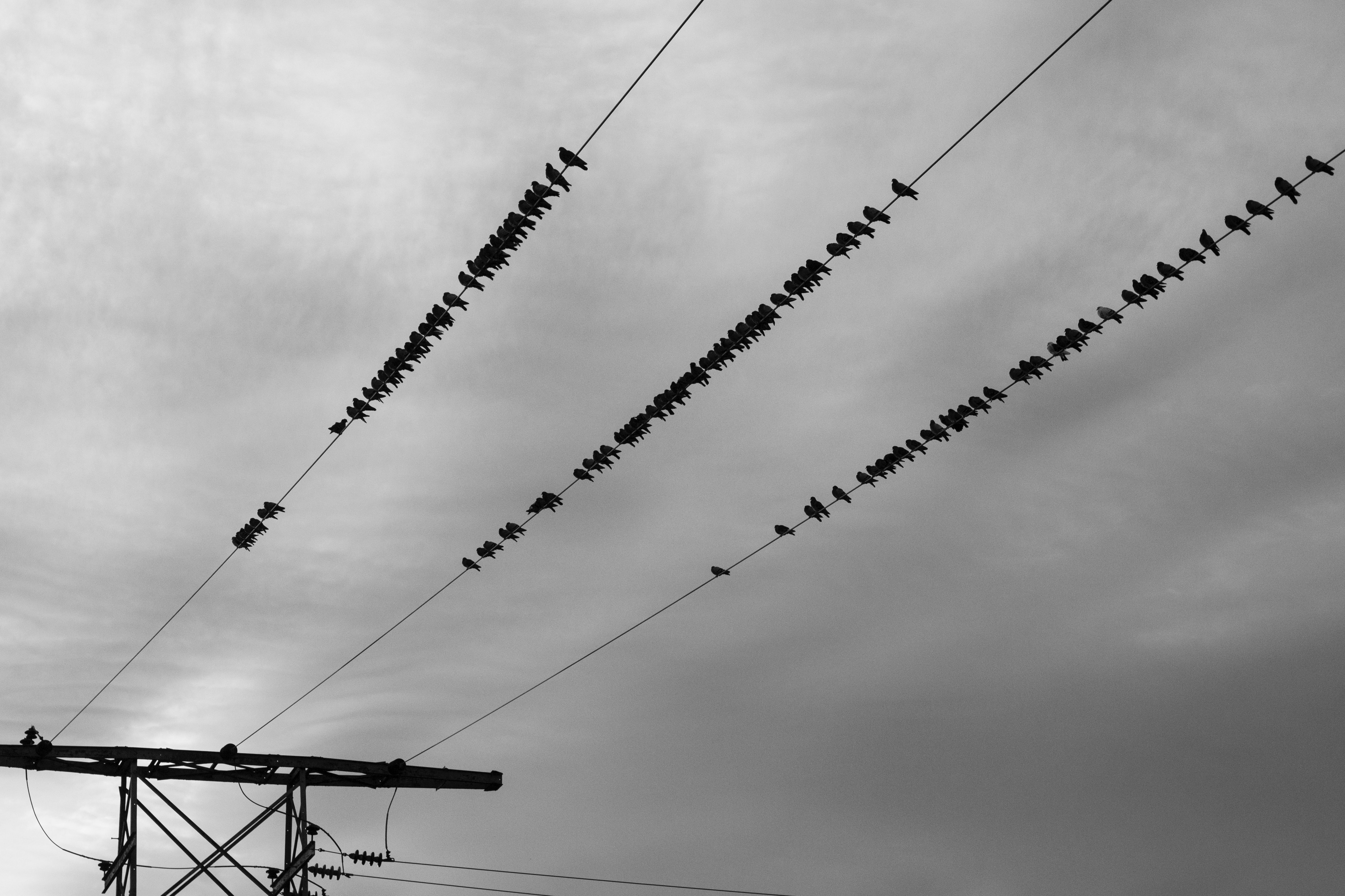 A black-and-white shot of a large number of birds sitting on power lines