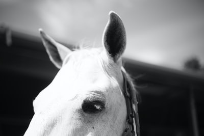 Pricked horse ears in black and white