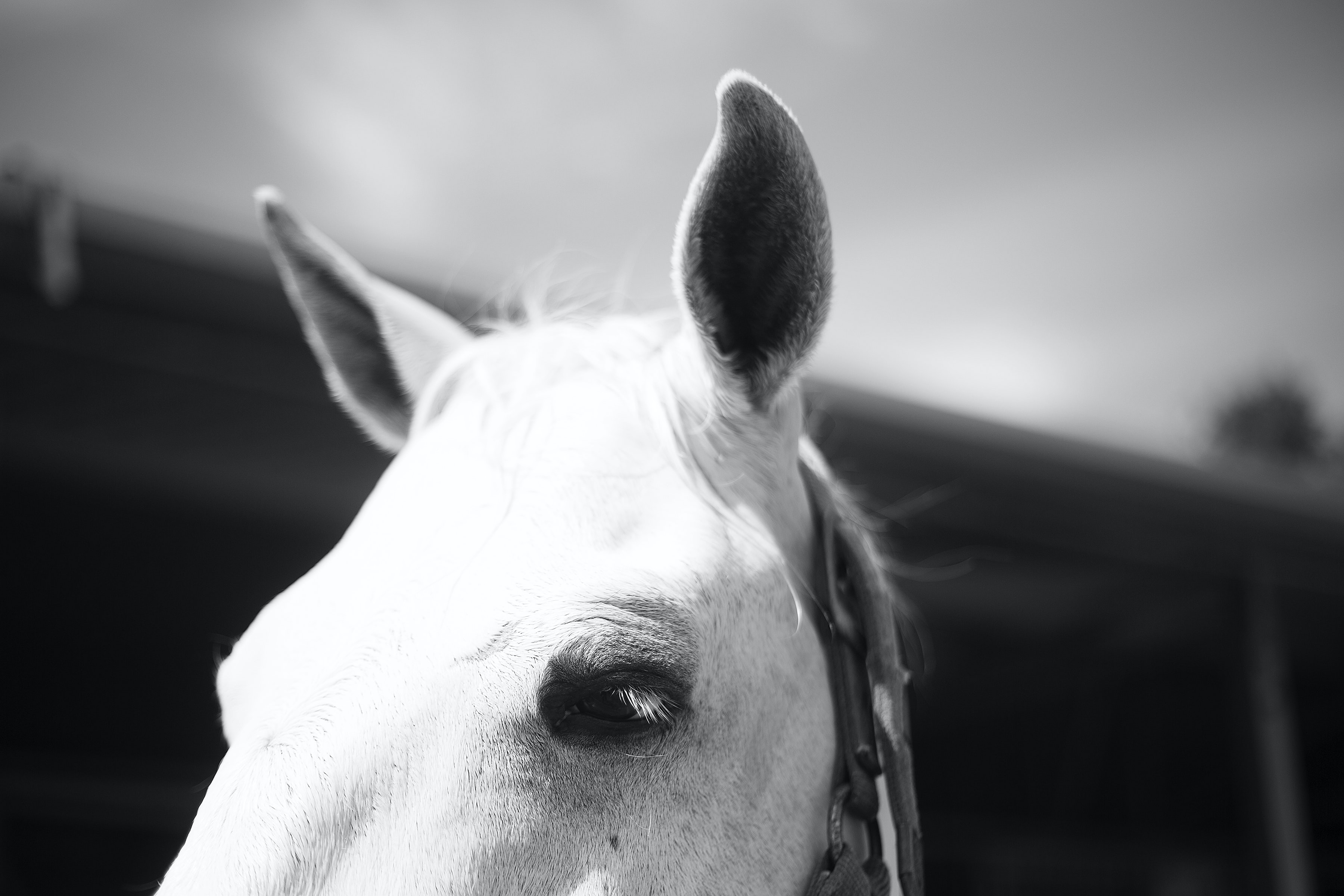 A black-and-white shot of the top of a horse's head