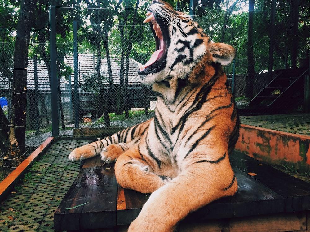 roaring tiger inside zoo during daytime