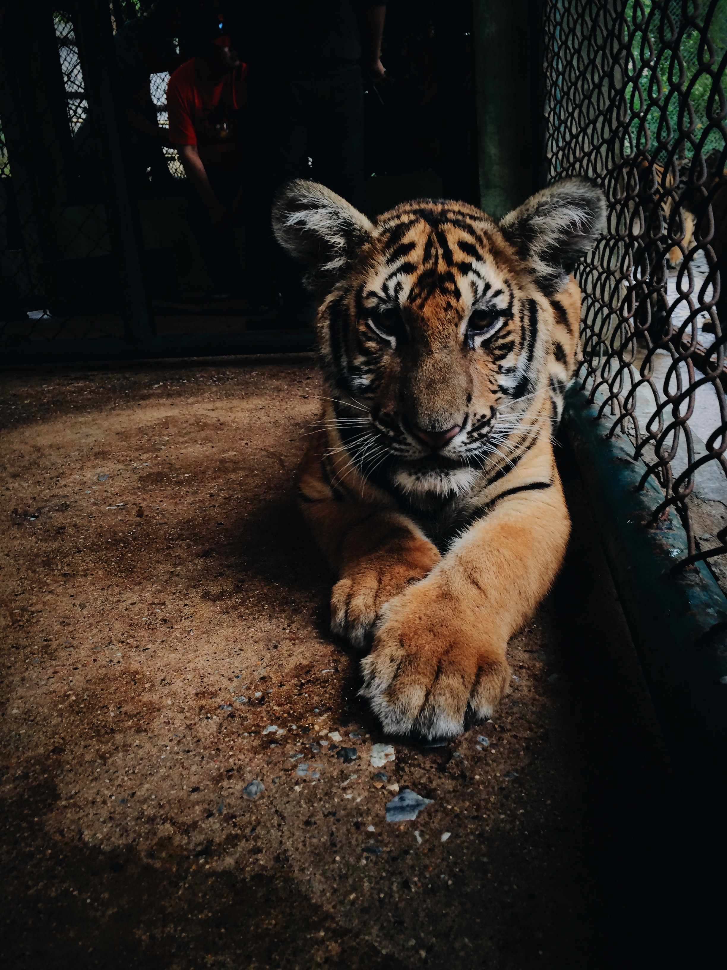 Tiger beside cage