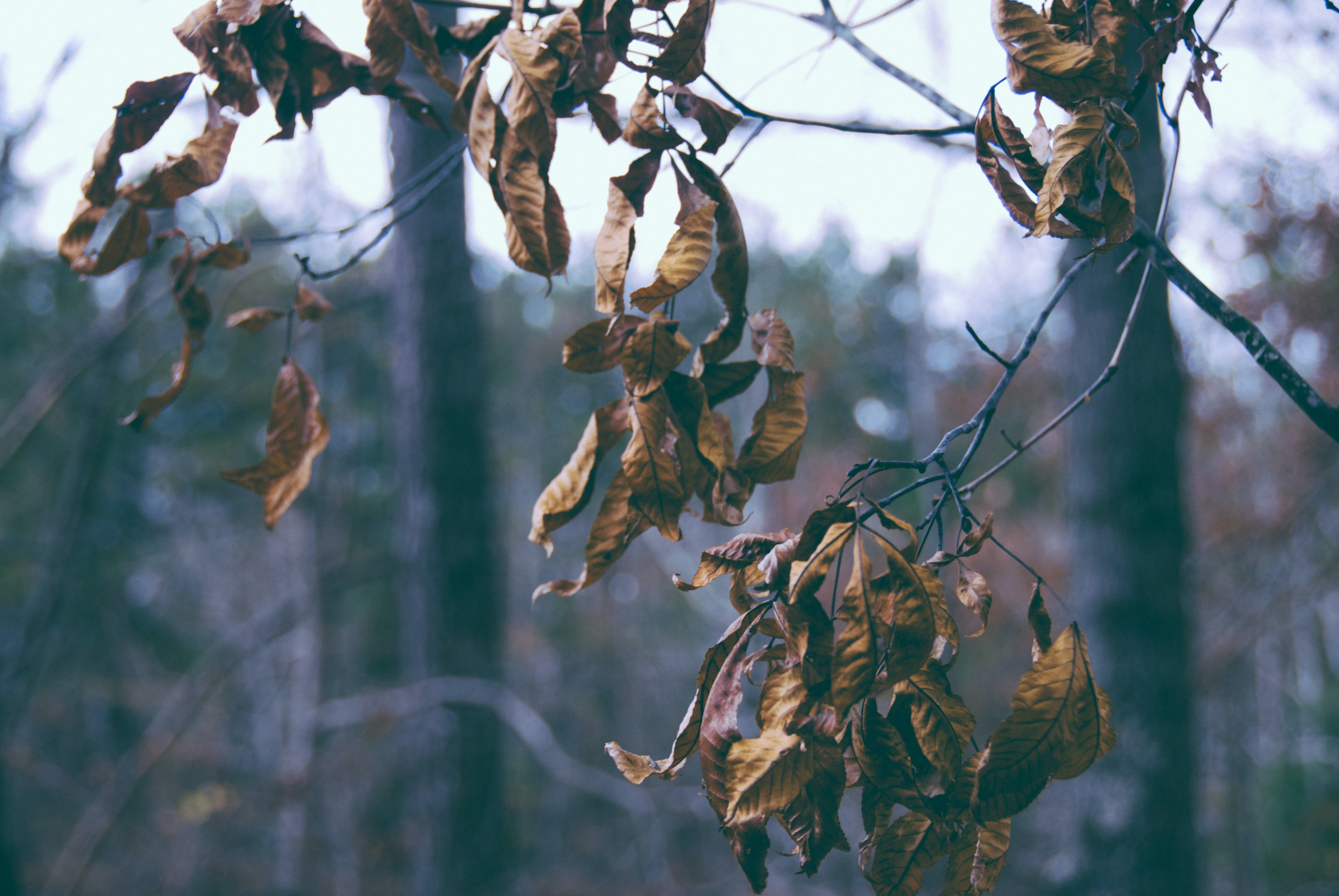 Wilting leaves on a branch in autumn