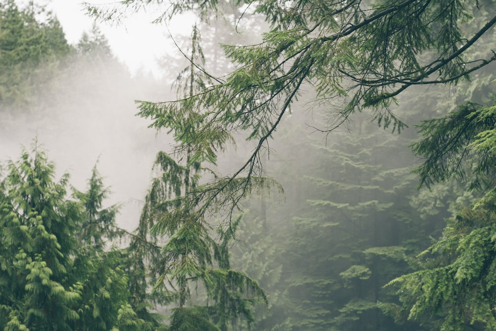 pine tree covered by mist