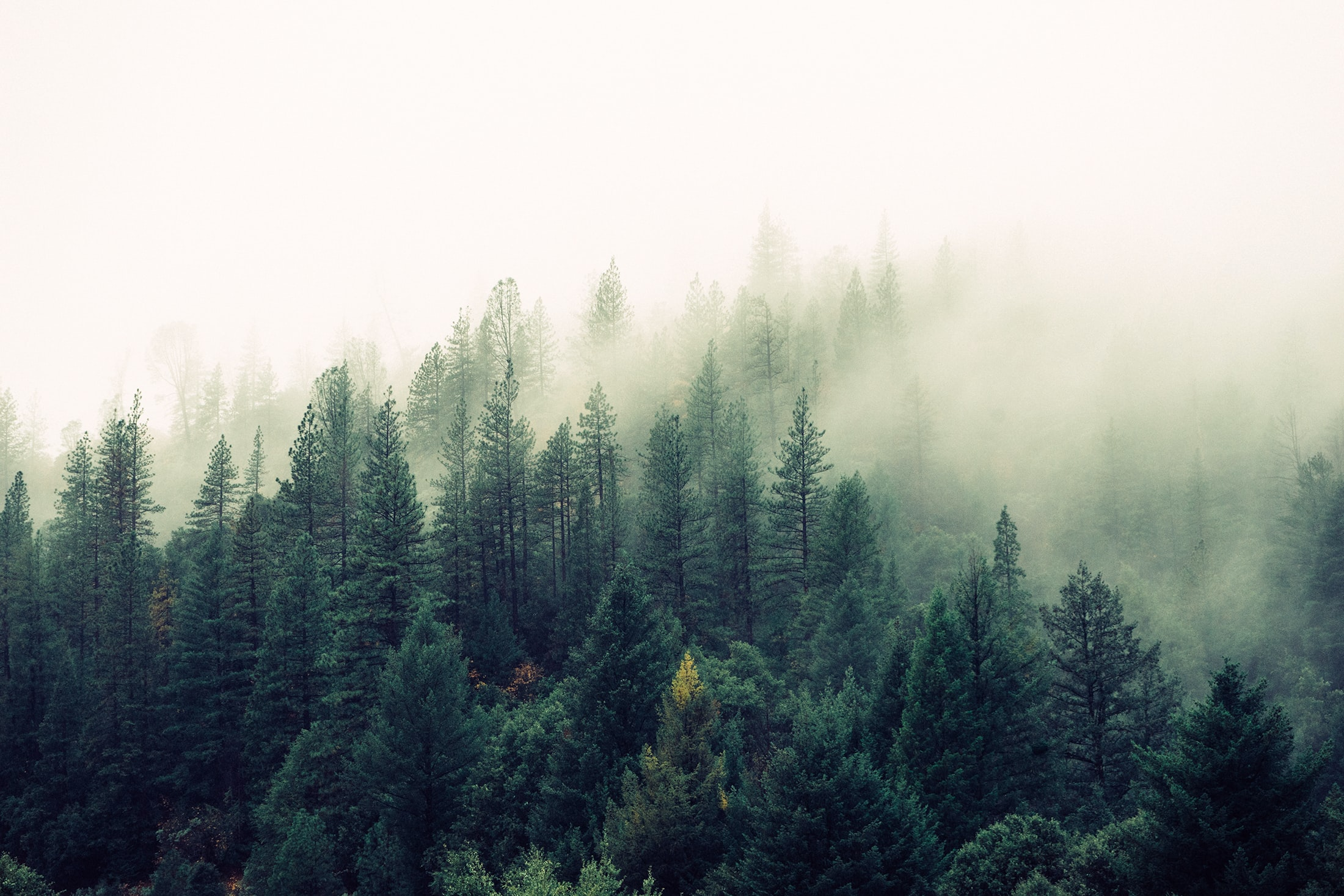 A pine forest shrouded in a dense fog descending from above