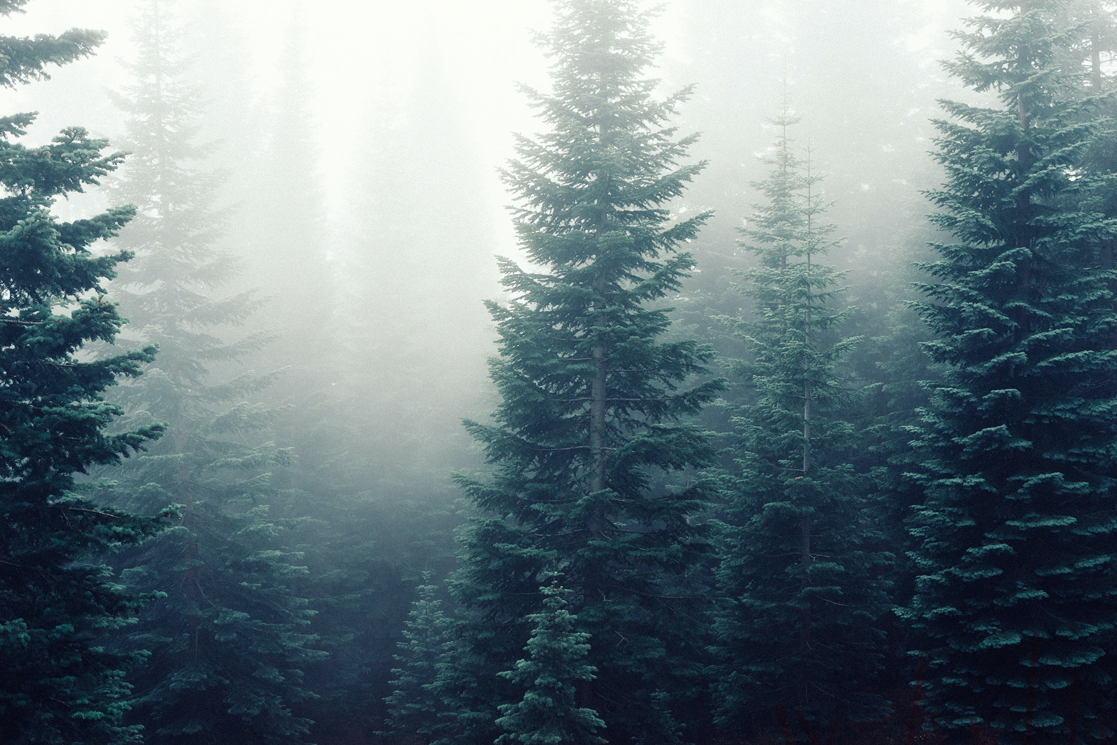 A pale shot of tall conifers in thick fog