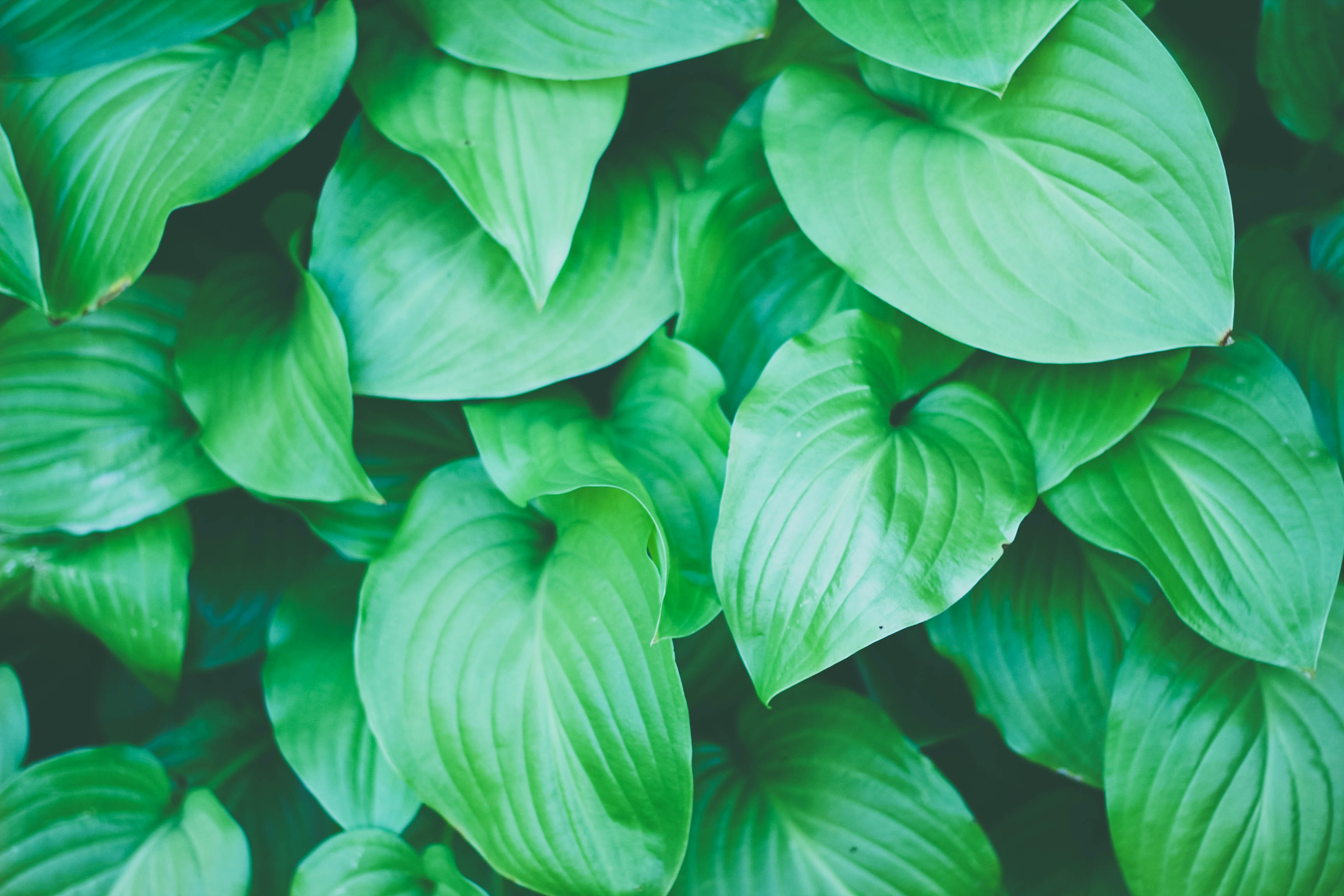 A top view of green heart-shaped leaves with conspicuous veins