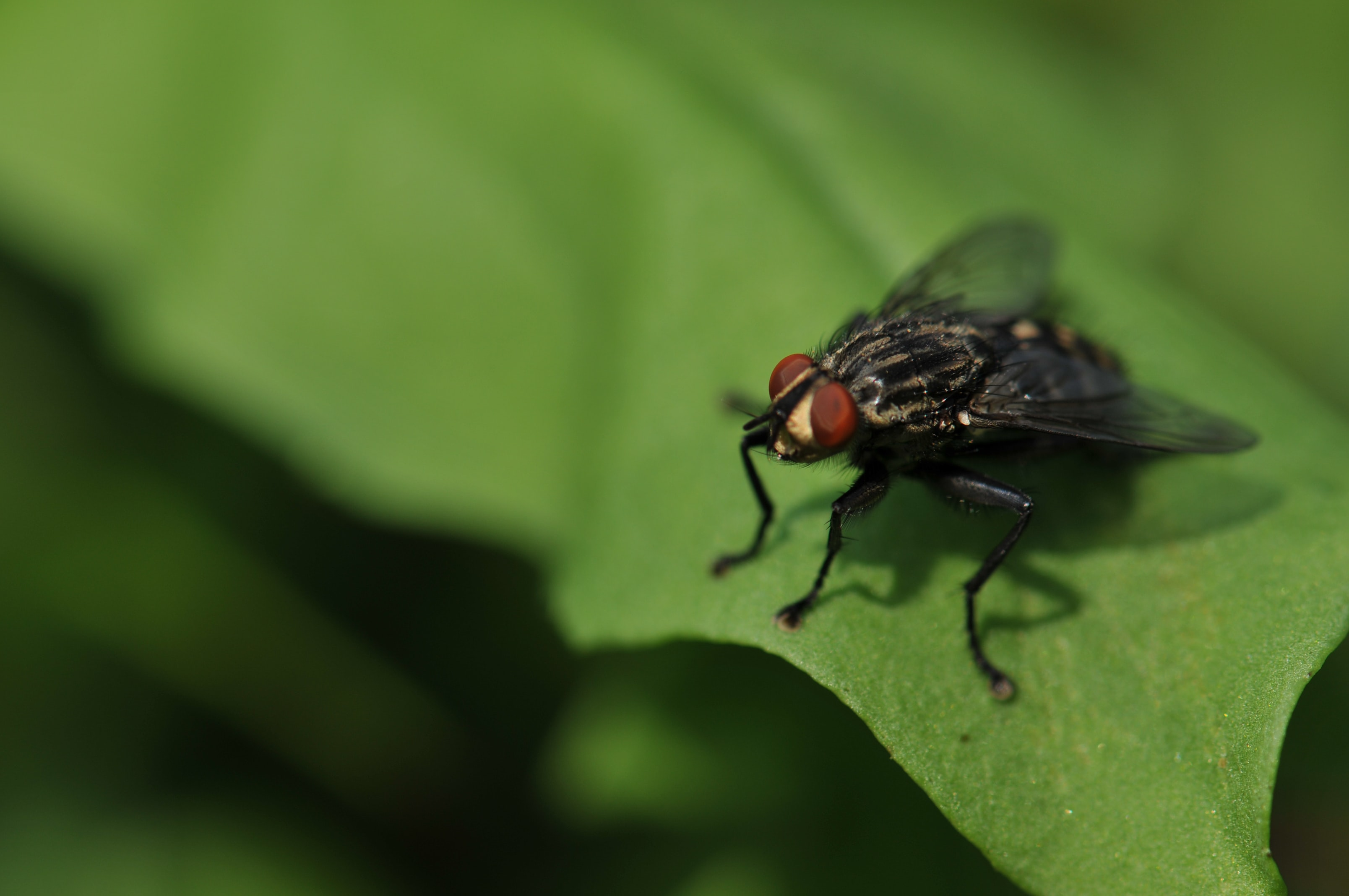 Macro of a fly with red eyes resting on a leaf