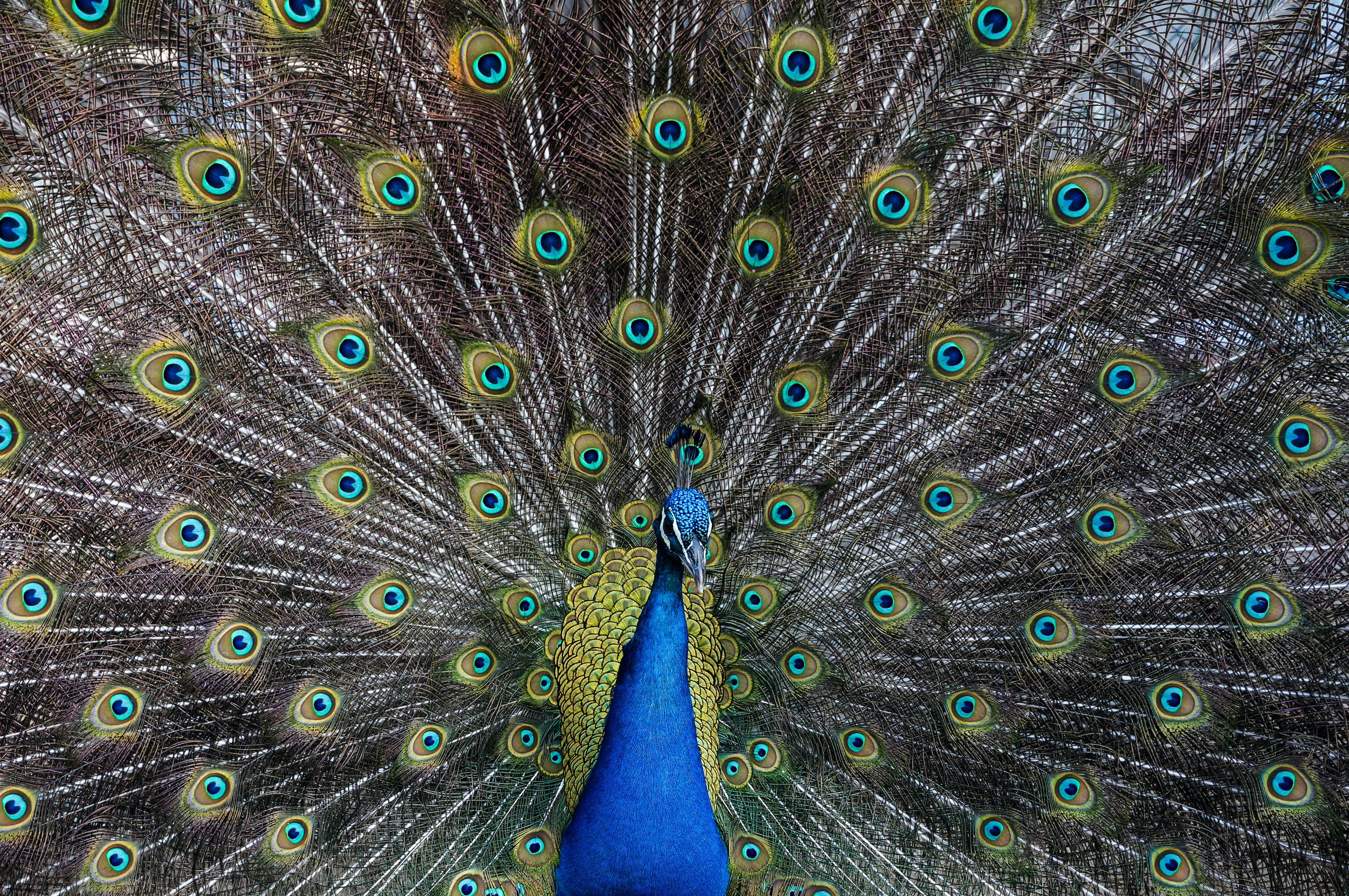 Colorful blue peacock presents its feathers proudly