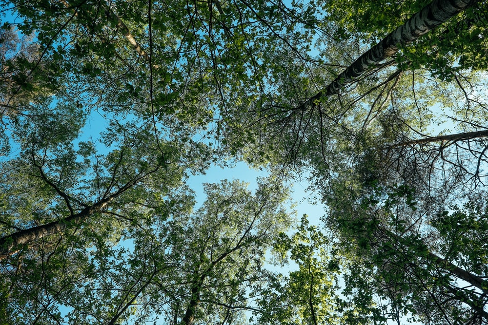worm's-eye view of green trees