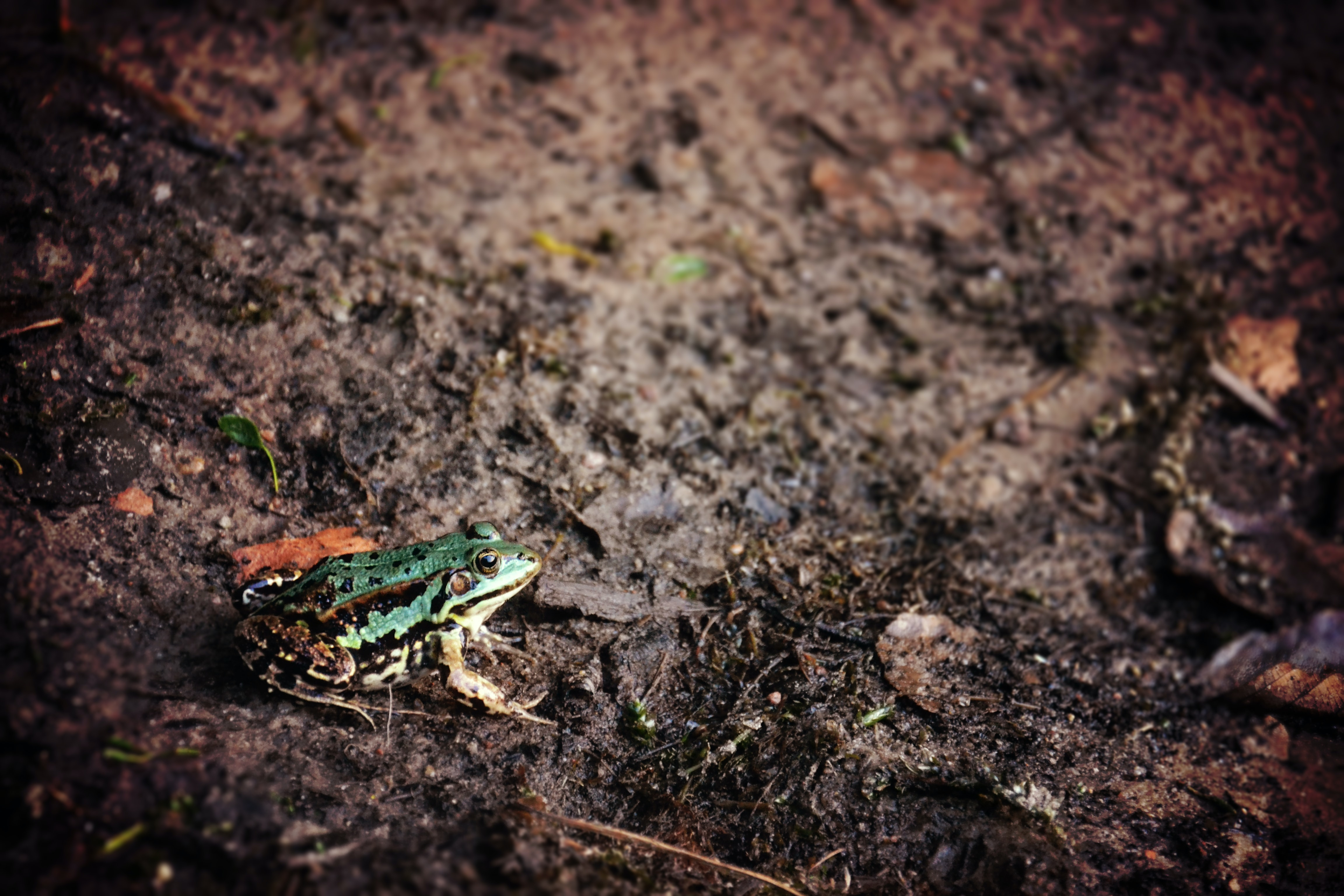 A green frog sitting on the muddy ground
