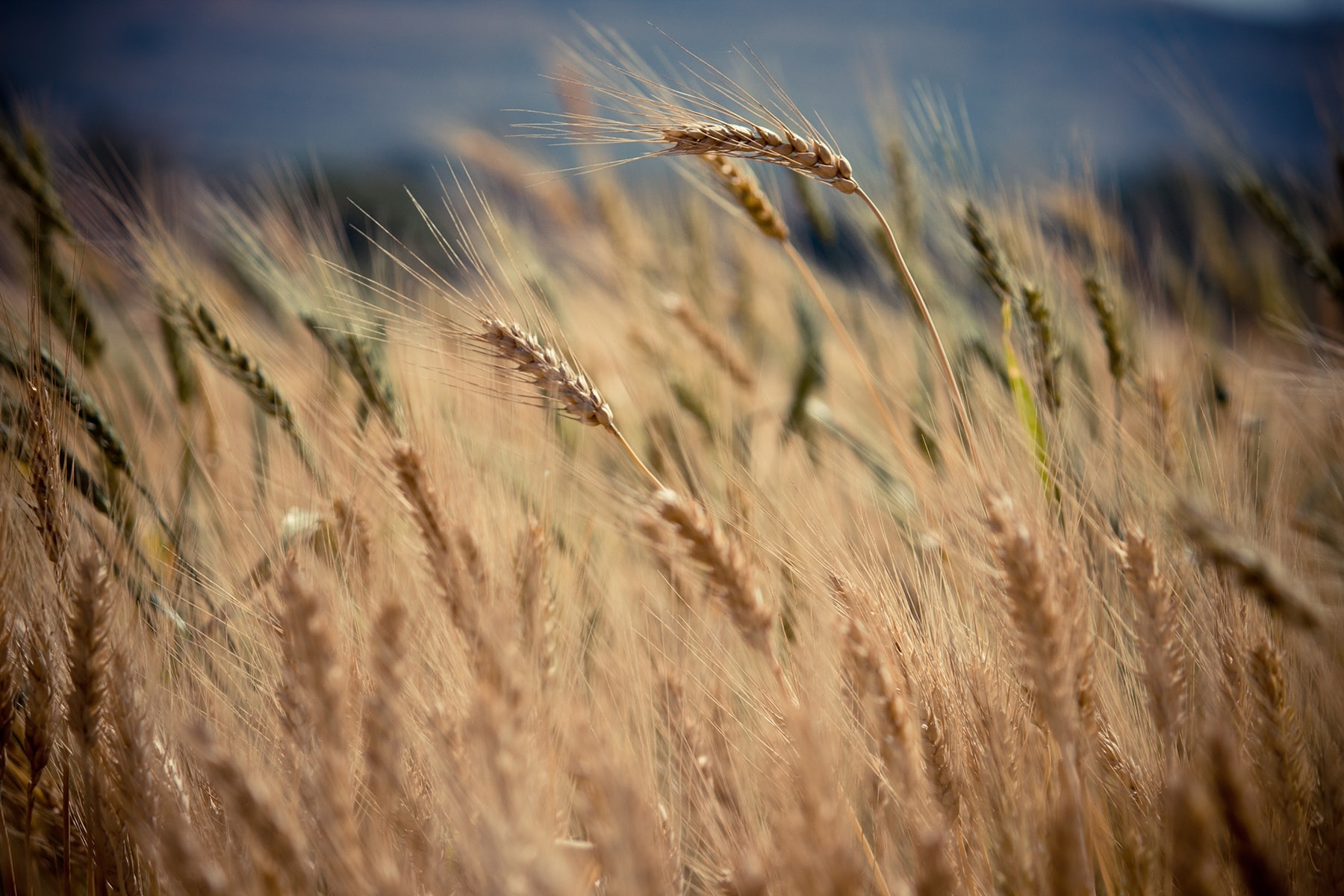 Grains of wheat blow in the wind in a farm field