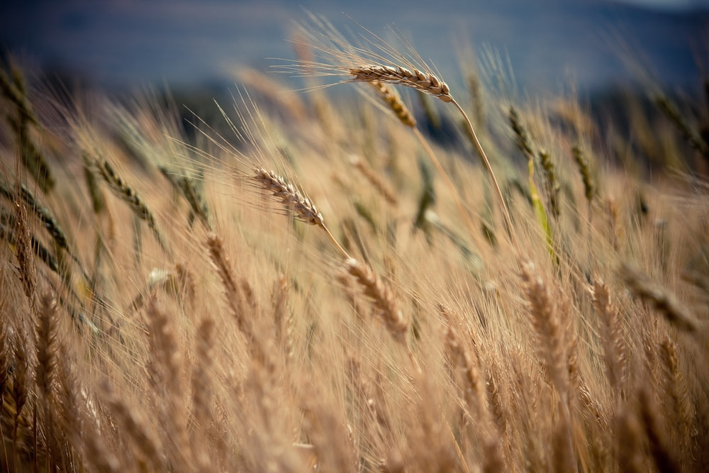 selective focus photography of brown wheat at daytime