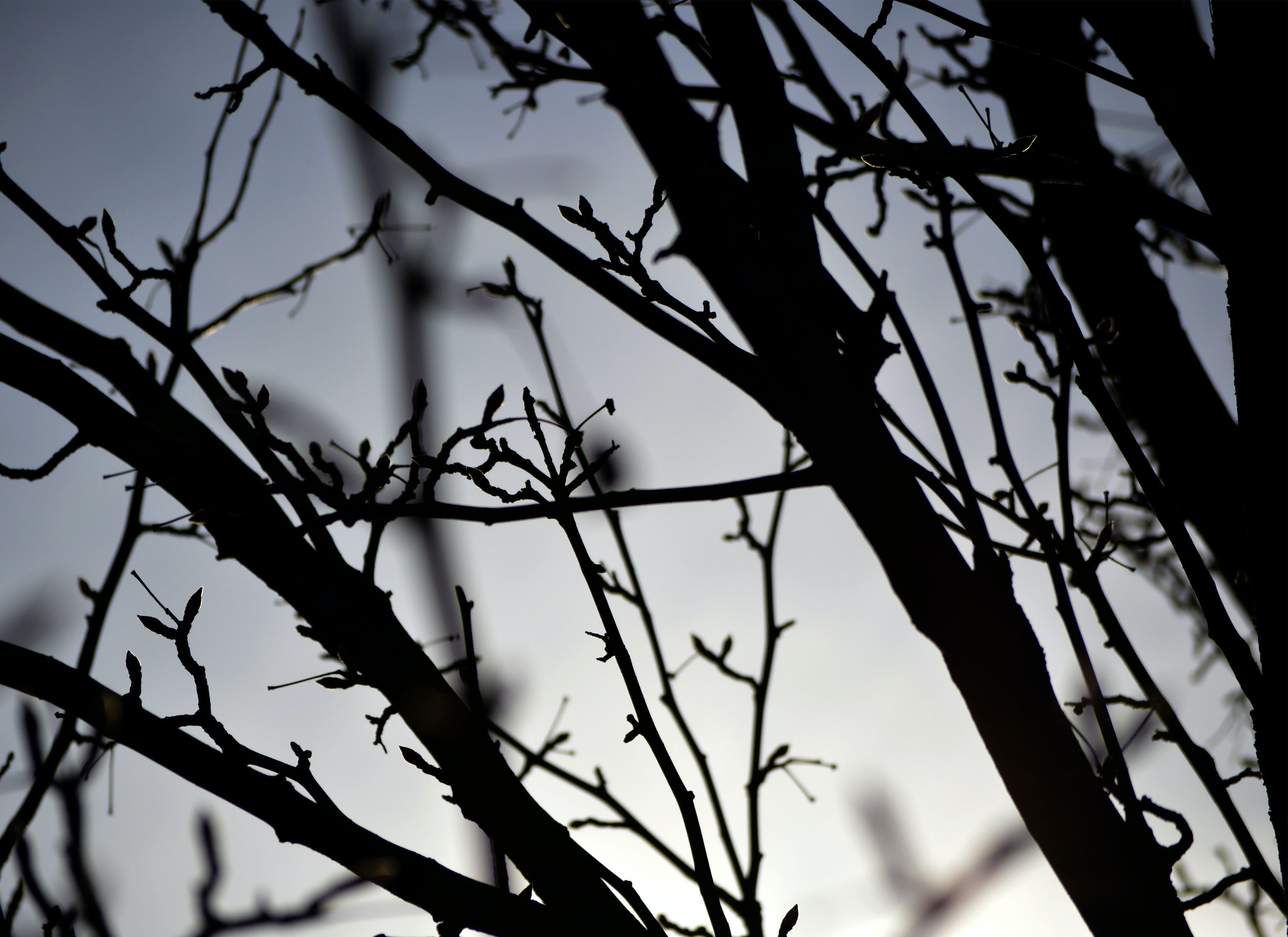 Silhouettes of buds on tree branches