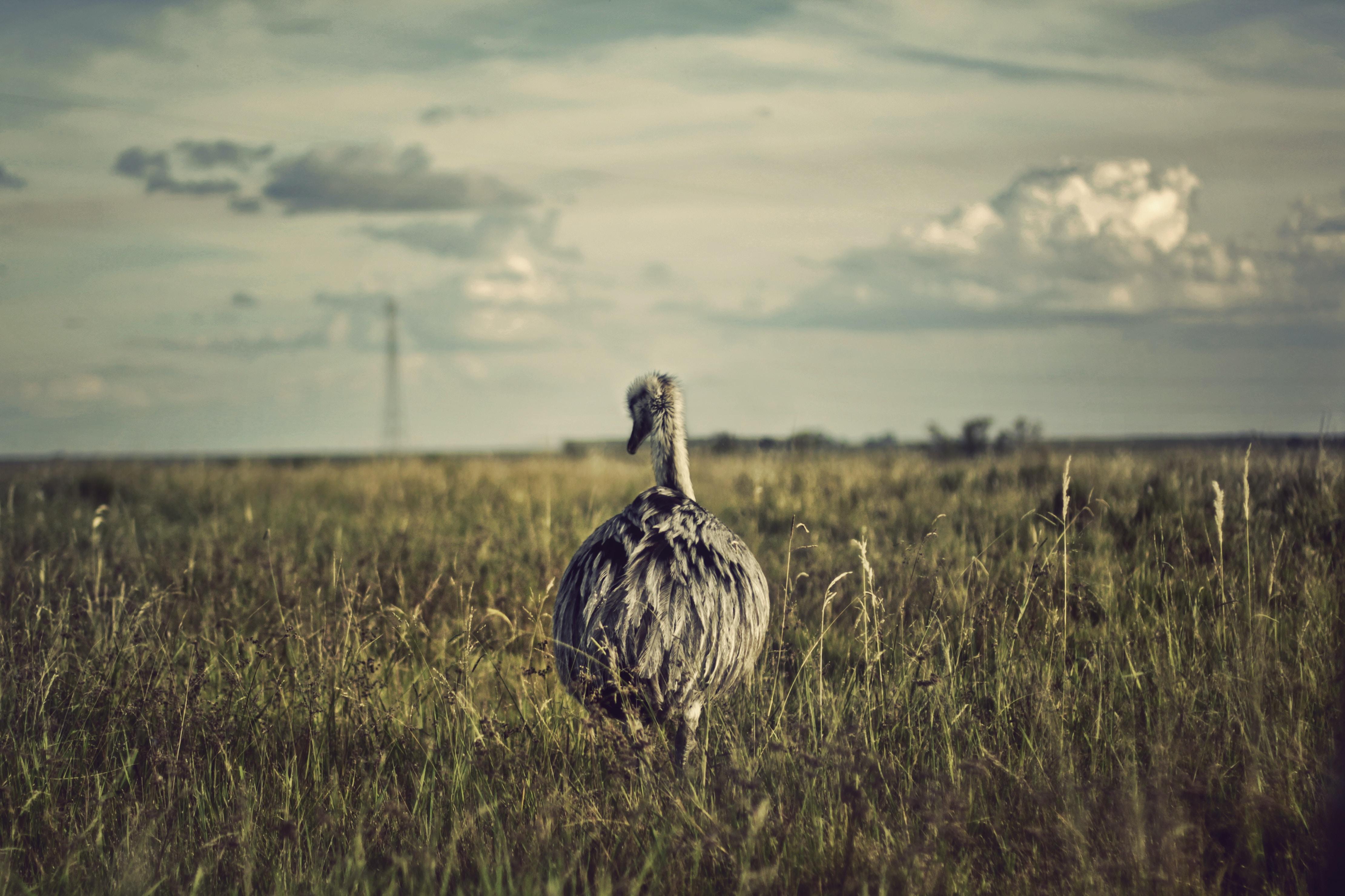 gray fowl on grass field