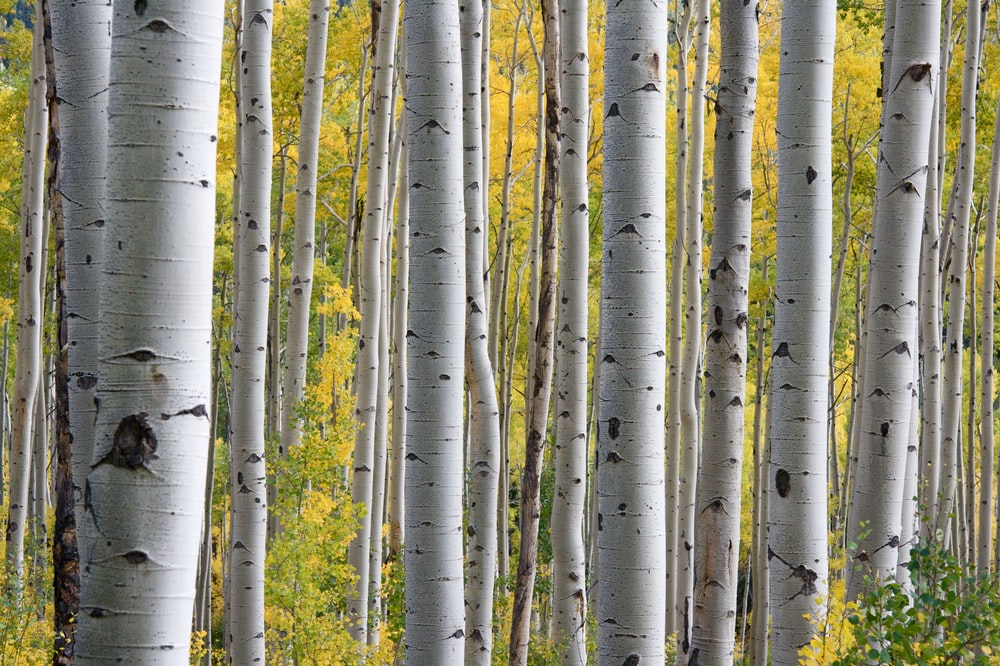 white tree trunks with yellow leaves at daytime