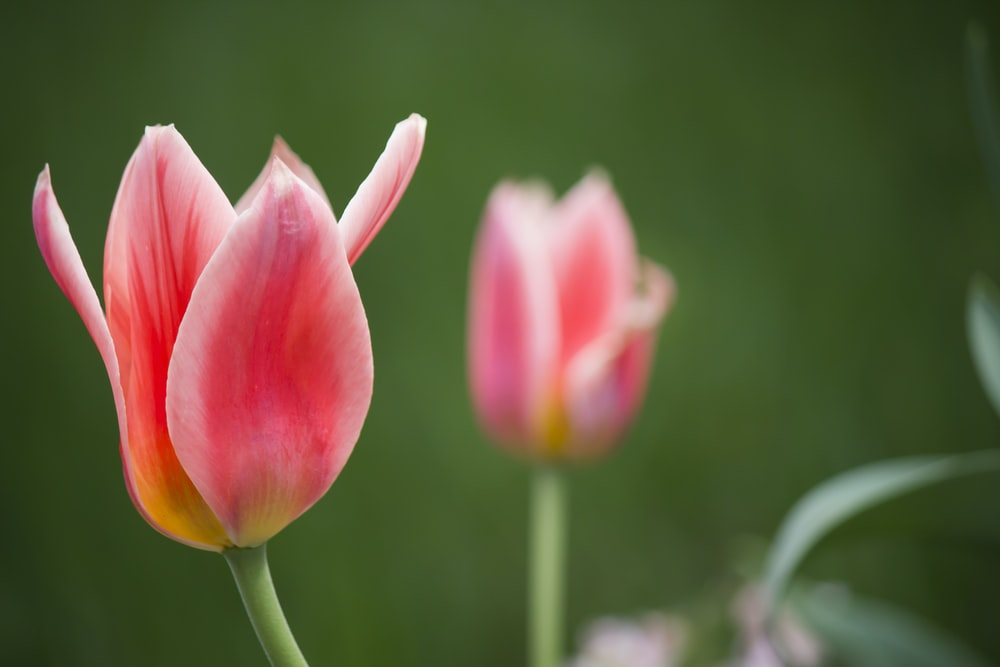 shallow focus photography of pink tulips