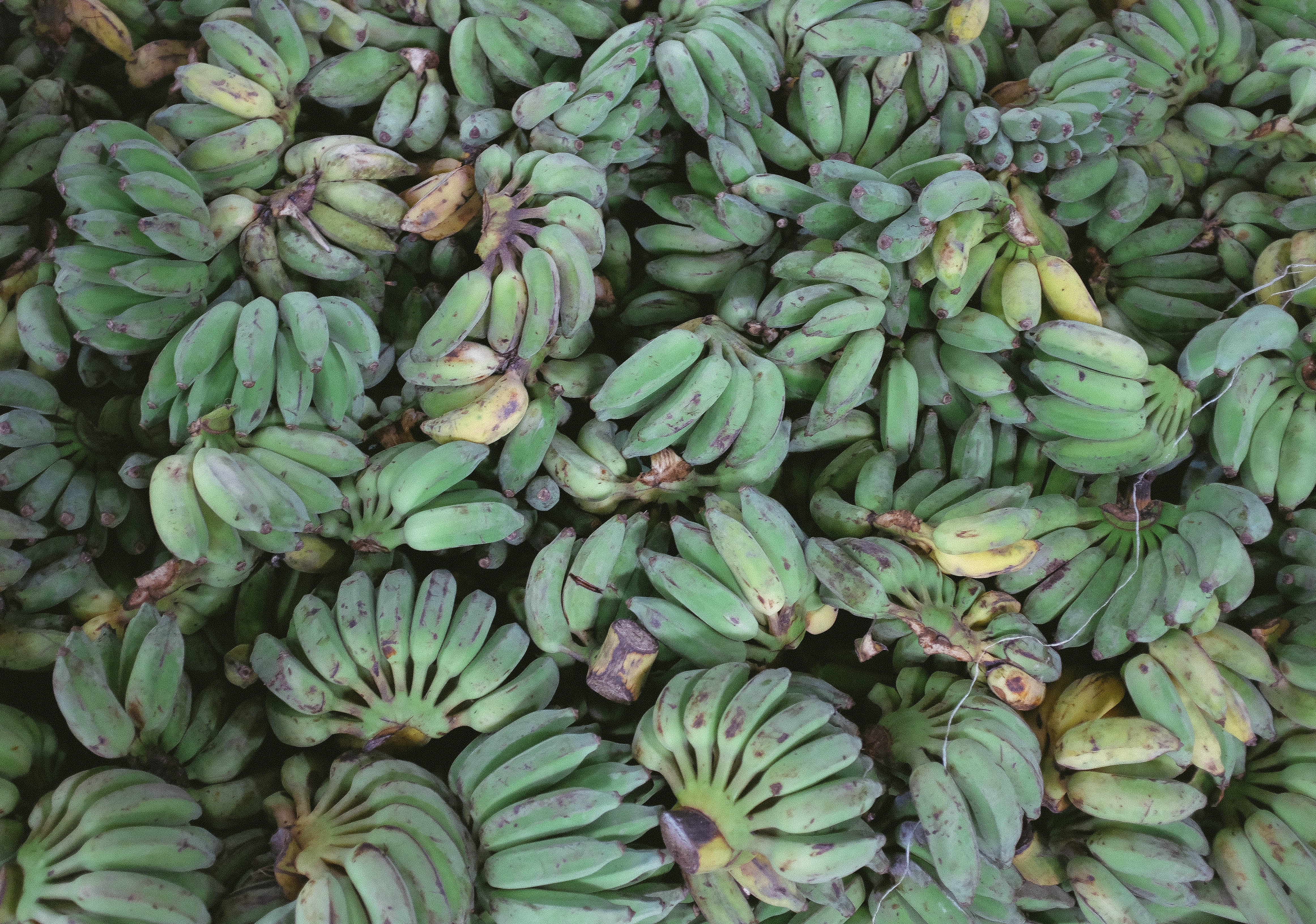 Bunches of unripe green bananas for sale