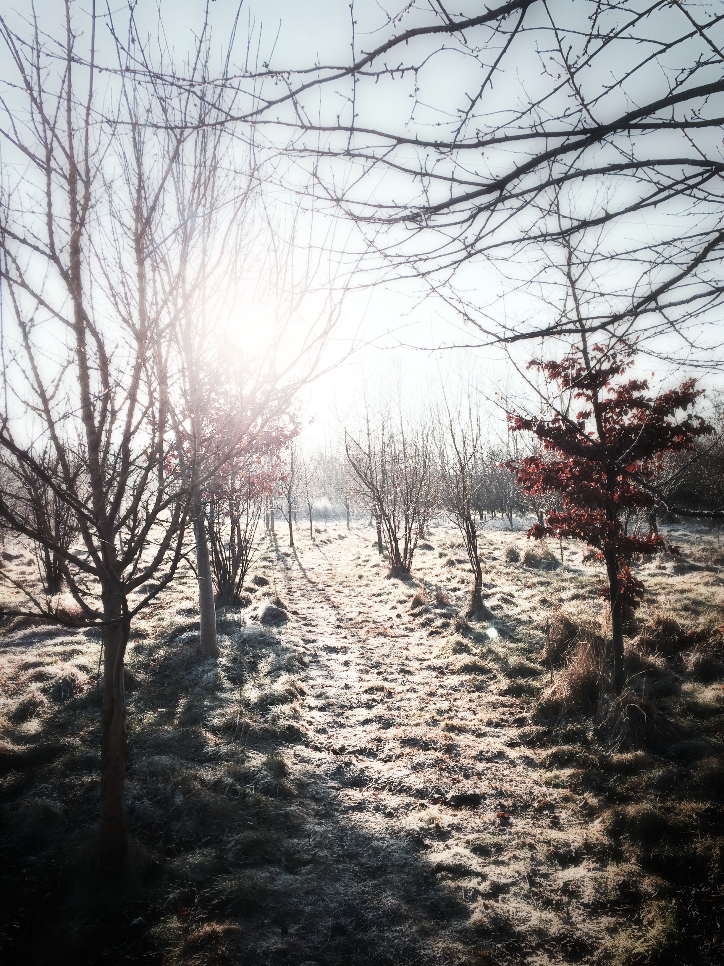 An orchard path with grass and branches covered in frost