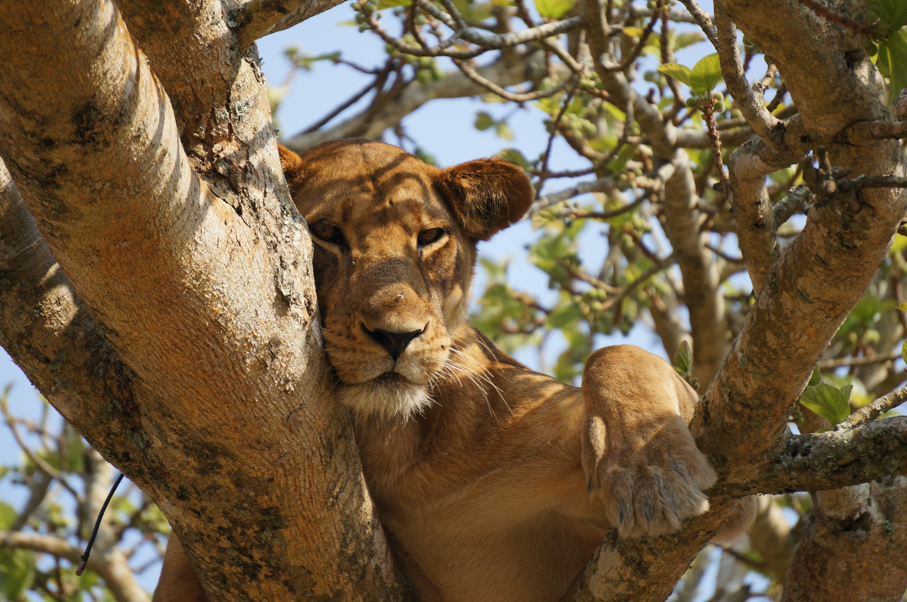 A sleepy female lion nested between the branches of a tree in Queen Elizabeth National Park