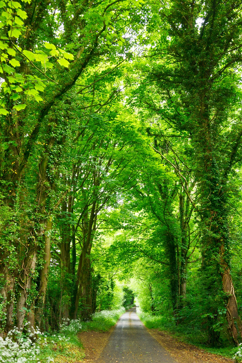 A narrow road lined with fresh green trees