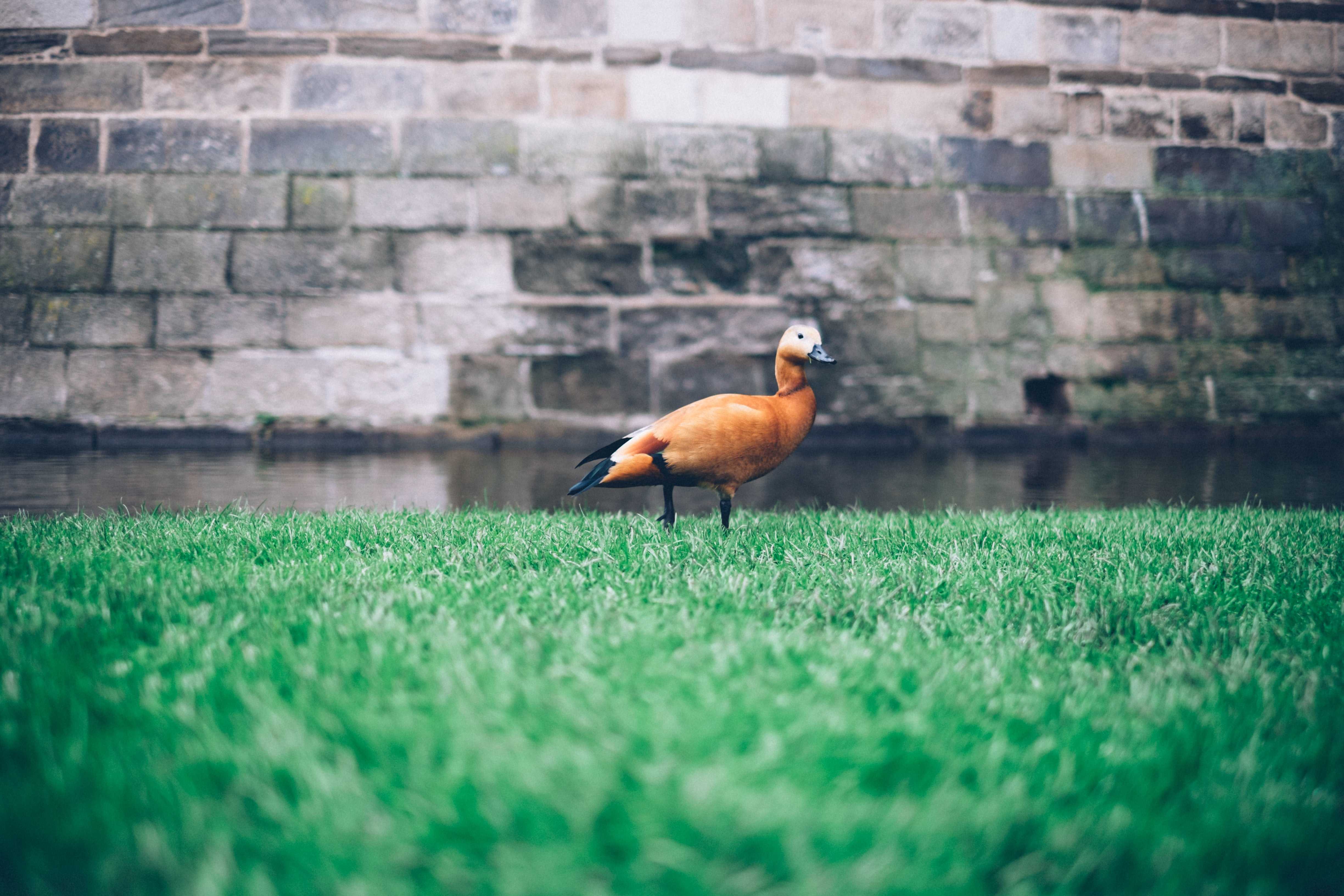 An orange duck with a black beak walking on cut grass in front of a moat and a stone wall