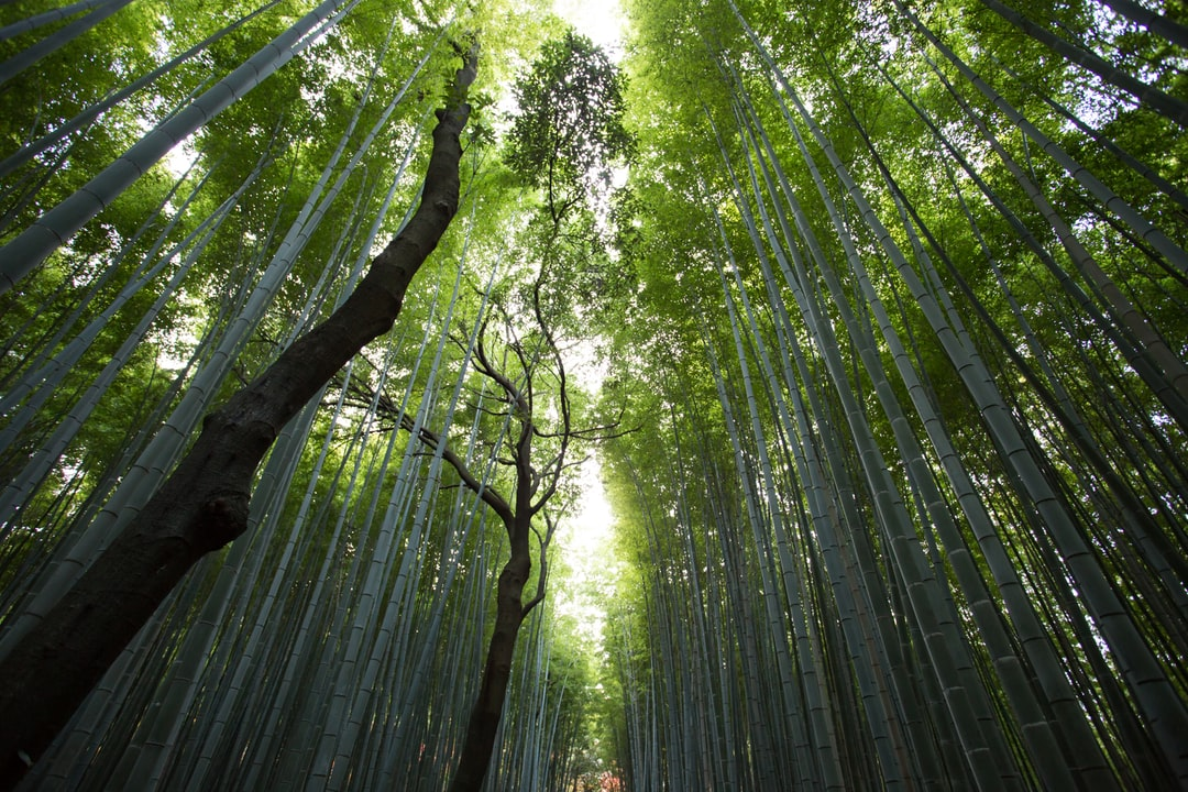 A green canopy of bamboo plants and trees with sun shining through the treetops