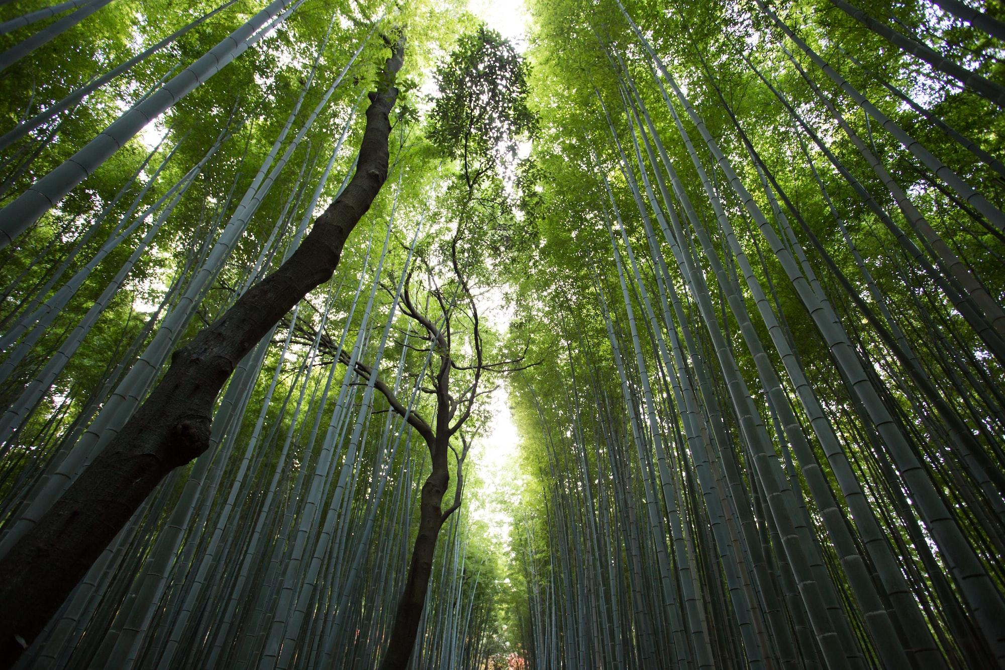 Impressive bamboo canopy